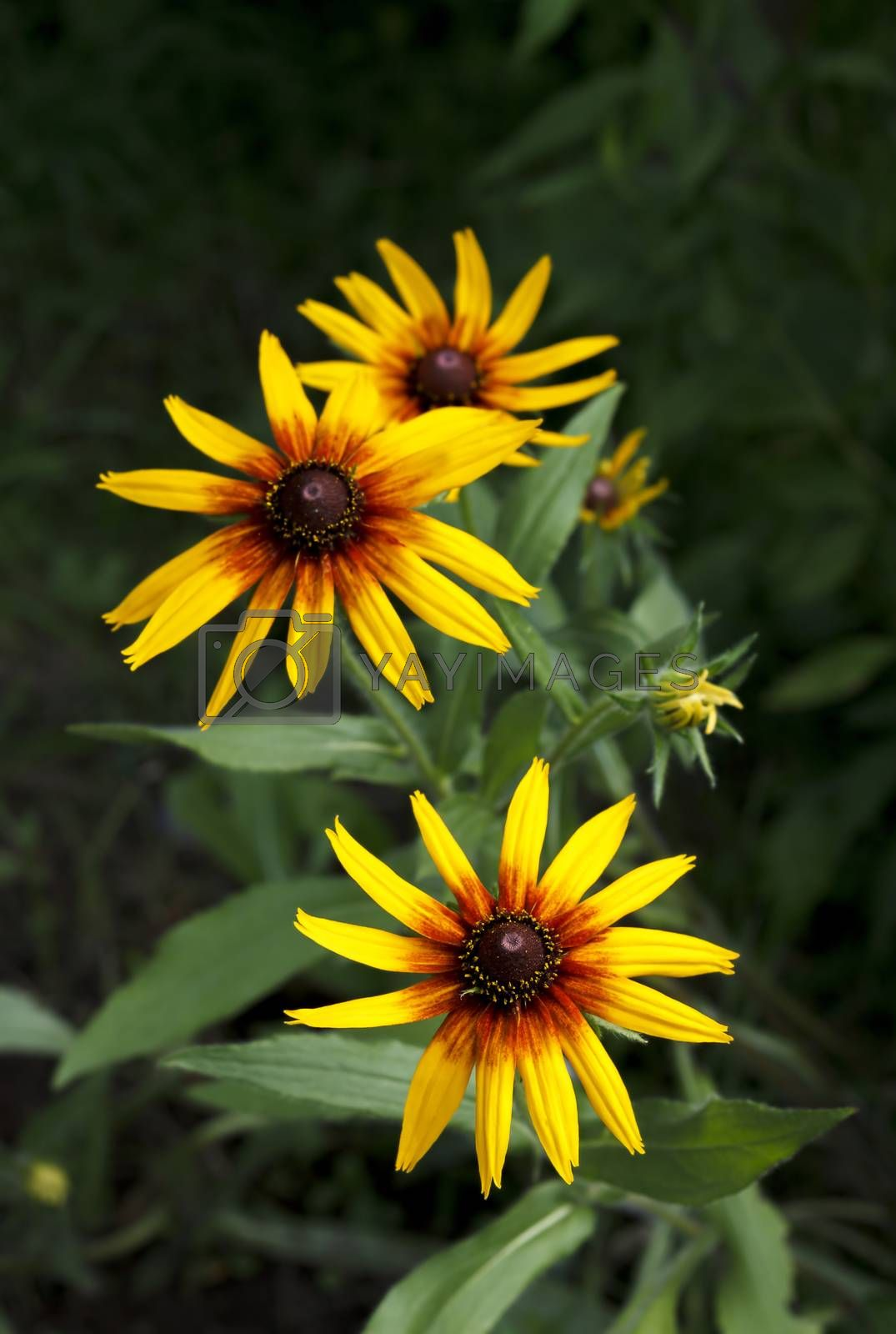 Bright yellow Rudbeckia flowers in summer garden