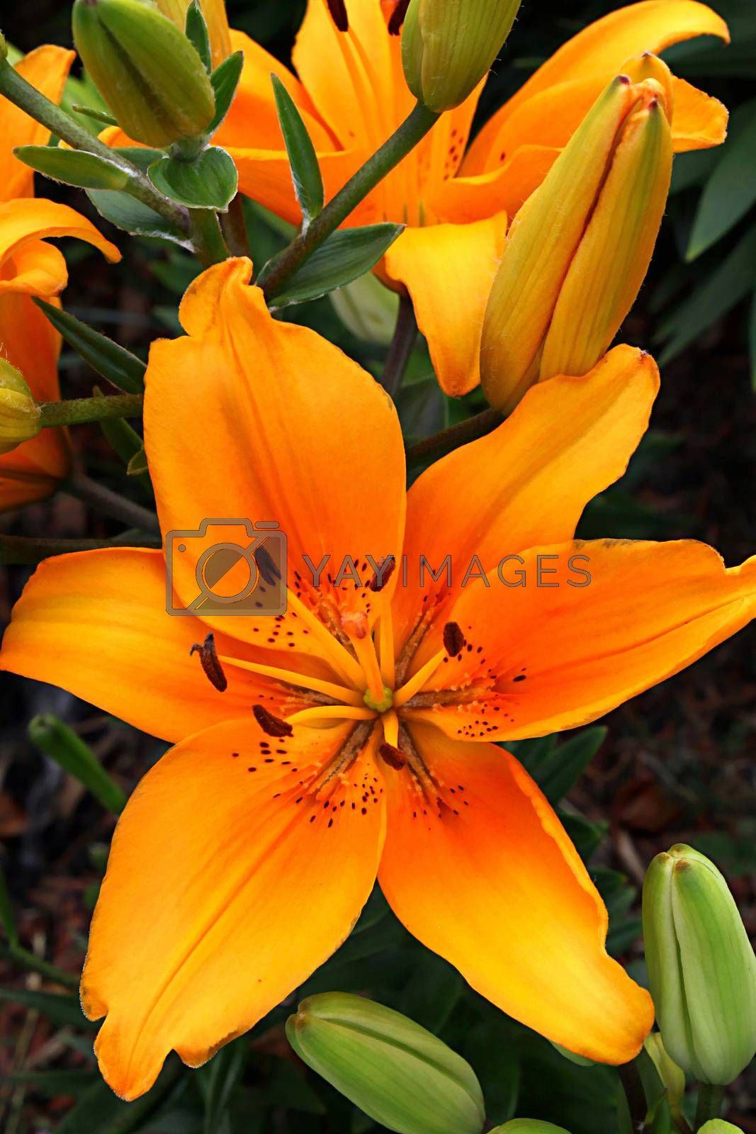 Close up of beautiful orange lily