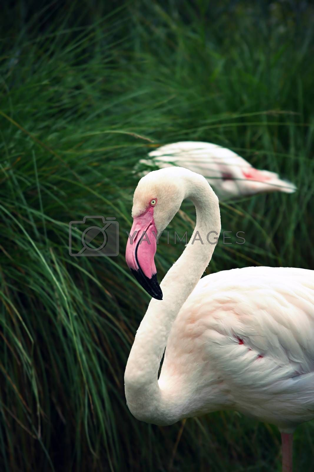 Vintage photo of Greater Flamingo (Phoenicopterus roseus)