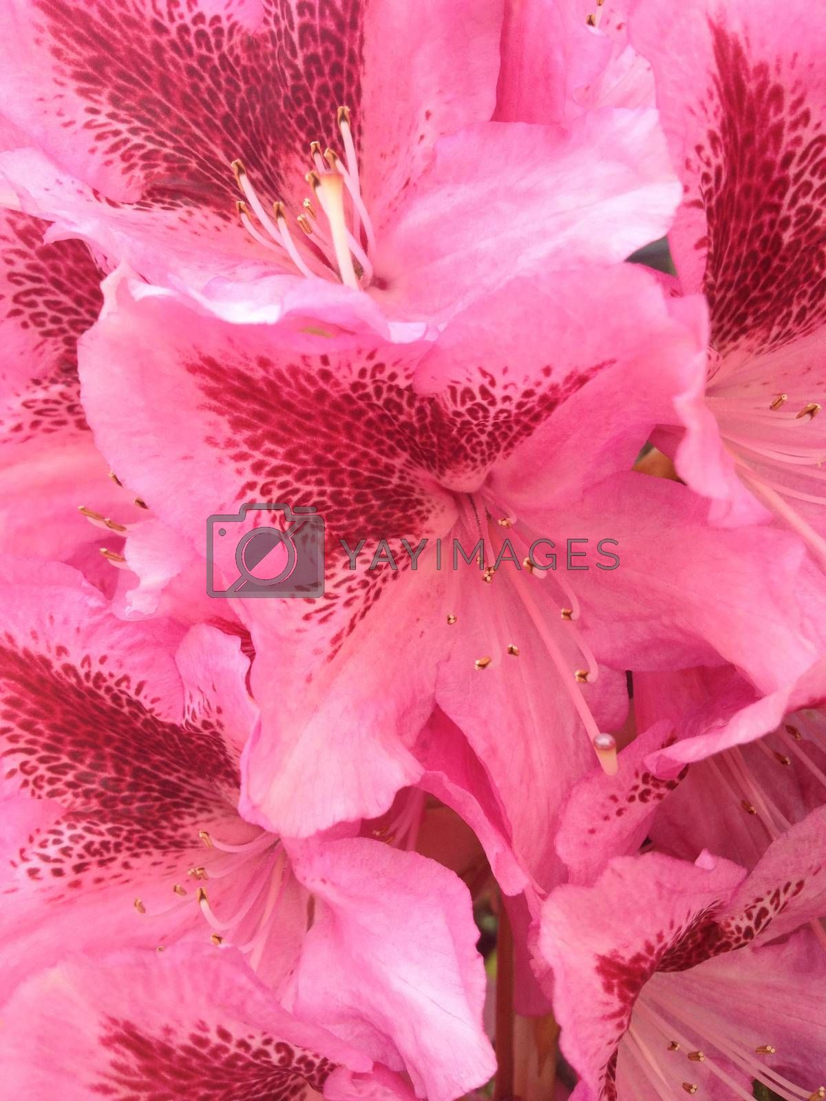 Rhododendron; by mmm