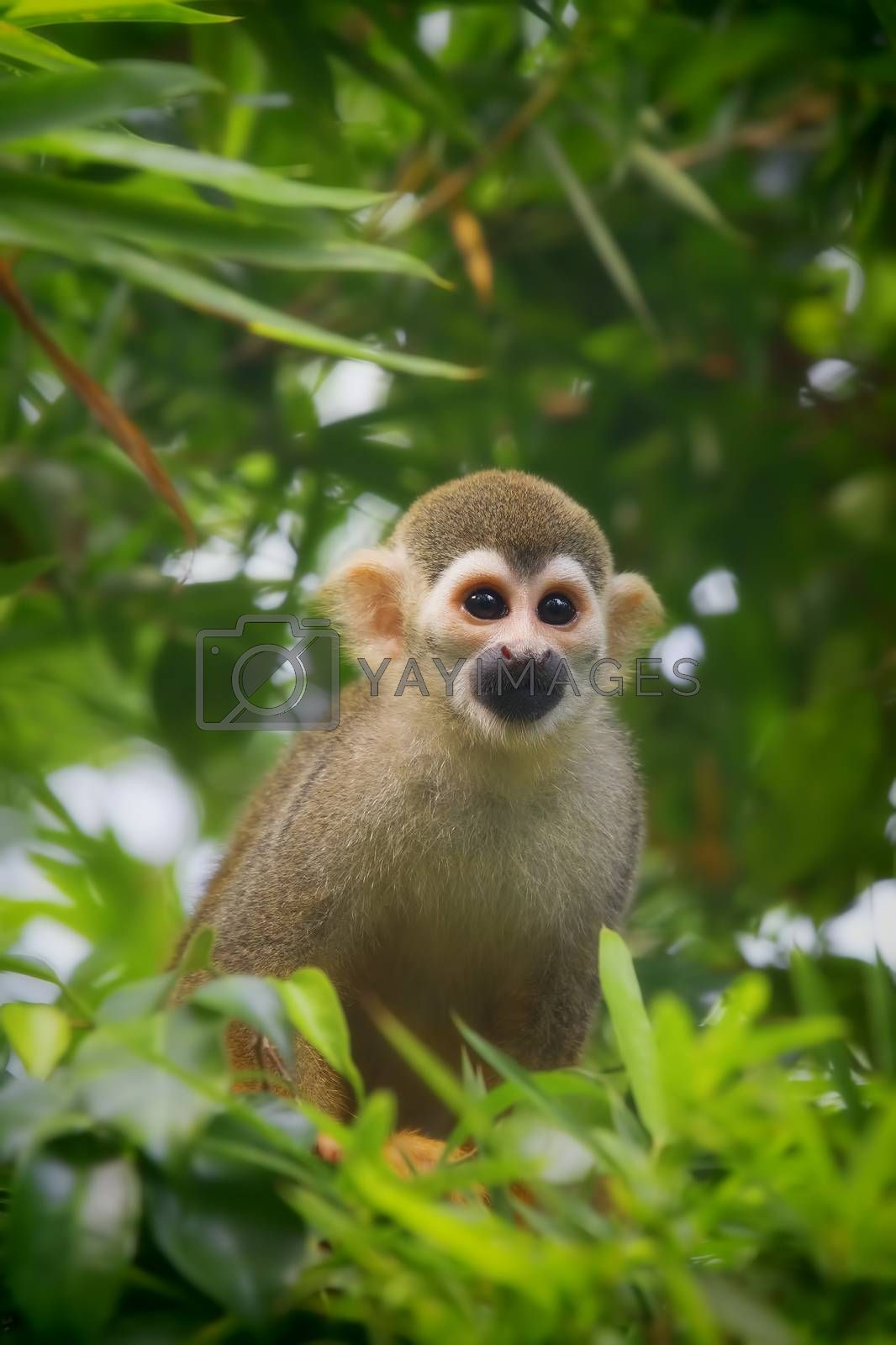 Squirrel Monkey by kjorgen