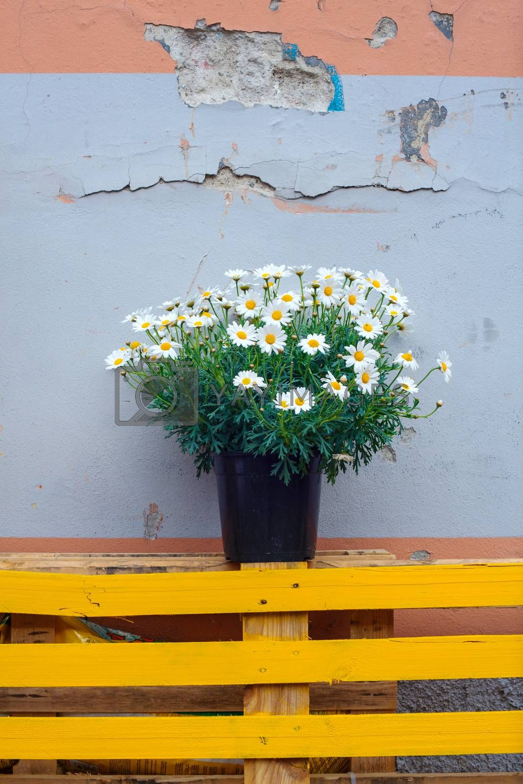 View of Pot of daisies on dirty wall background