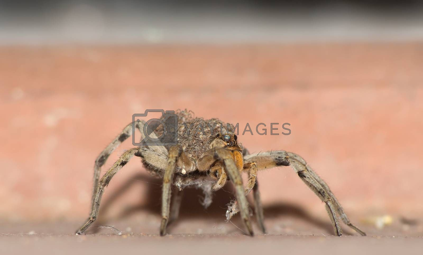 Wolf Spider Carrying Babies by Creatista
