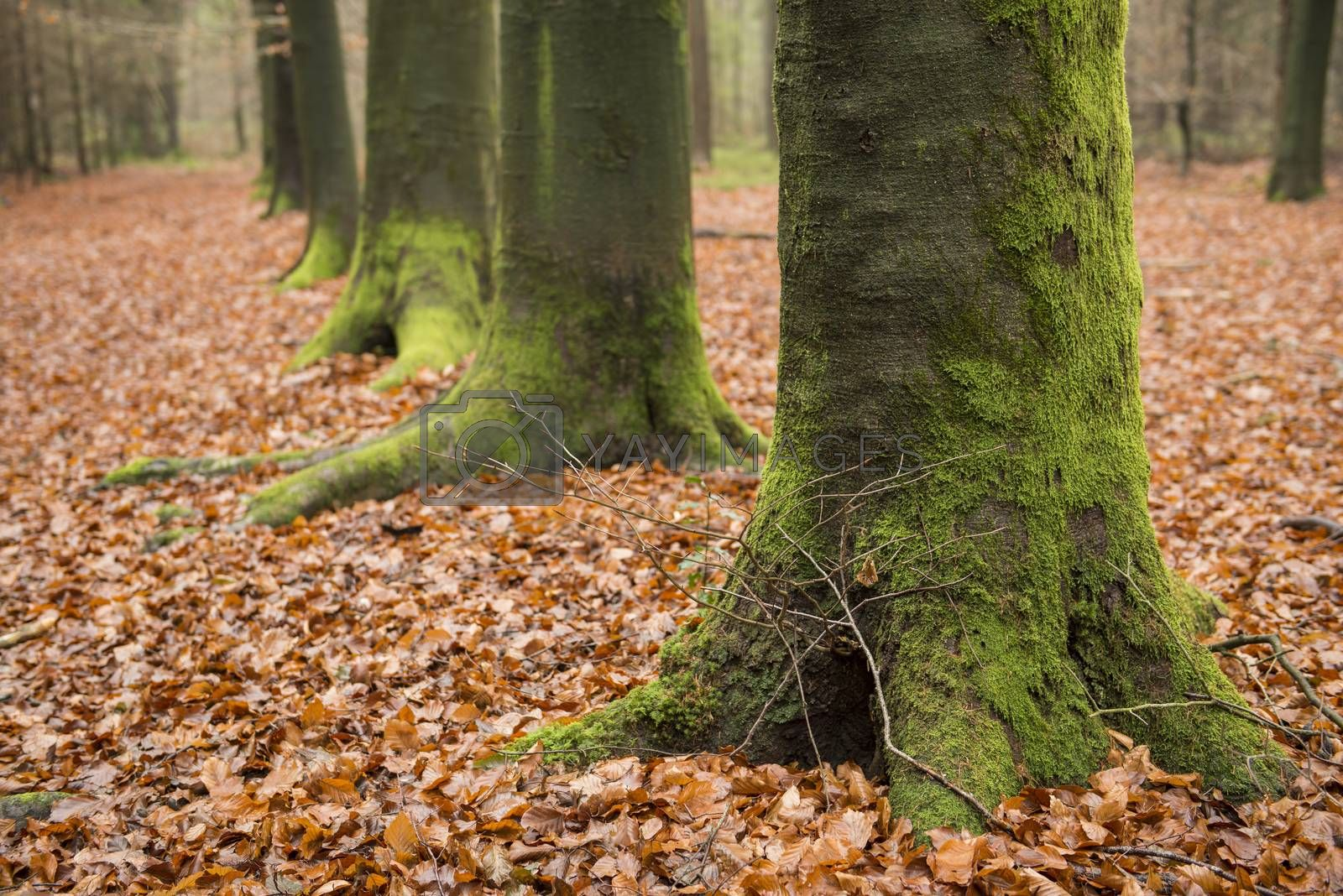 Green, moss-covered, tree feet on a leave carpet in the autumn in the nature reserve Bekendelle in Winterswijk in the Netherlands.