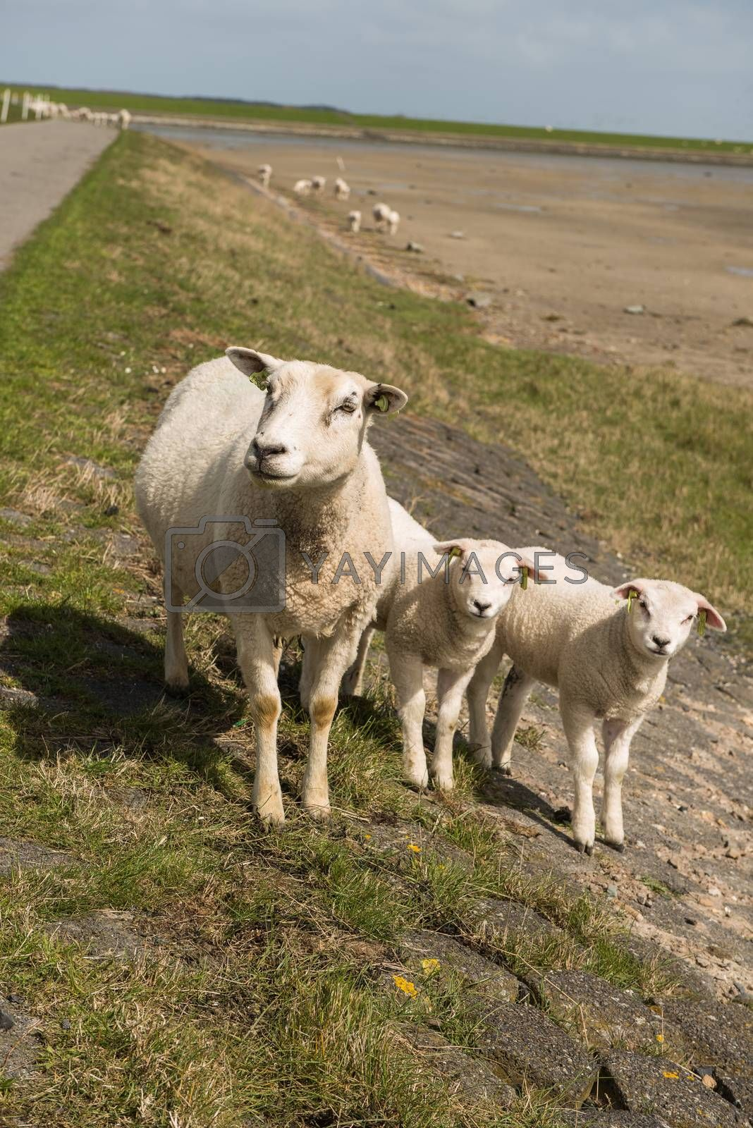 """Sheep on the dyke of the island Terschelling in the Netherlands. The sheep walk freely about the beach, called """"wad"""" in Dutch."""