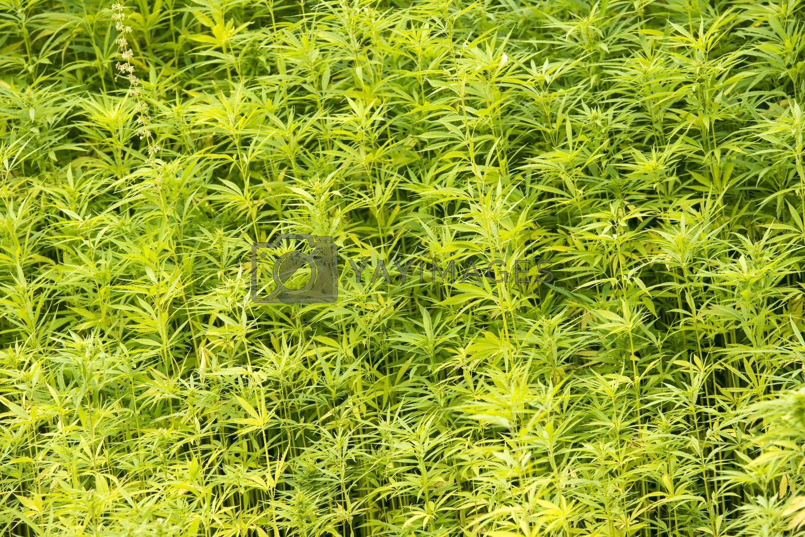 Royalty free image of Marijuana plants in the wild in the Netherlands by Tofotografie