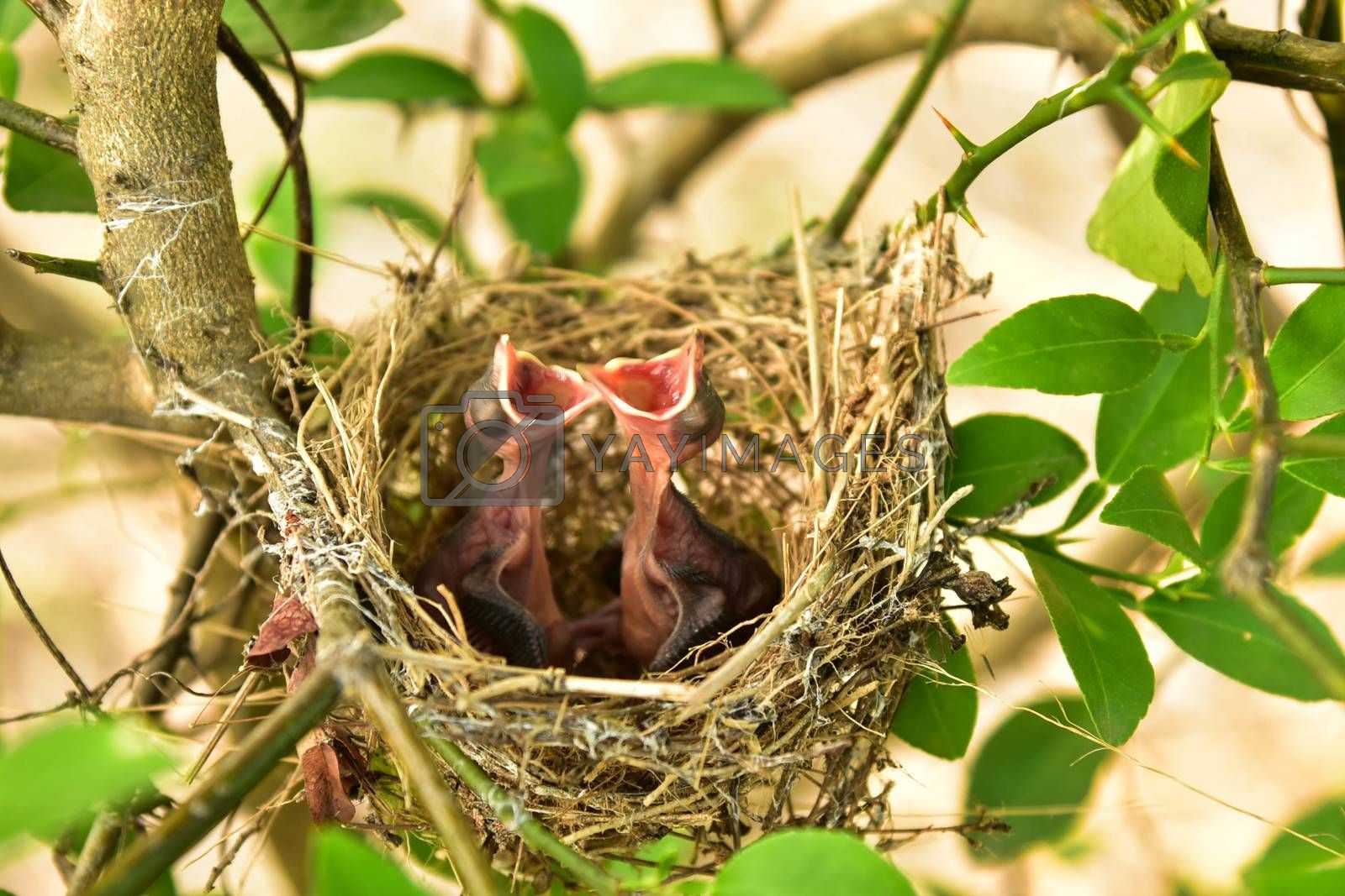 Nest of birds with small babies.