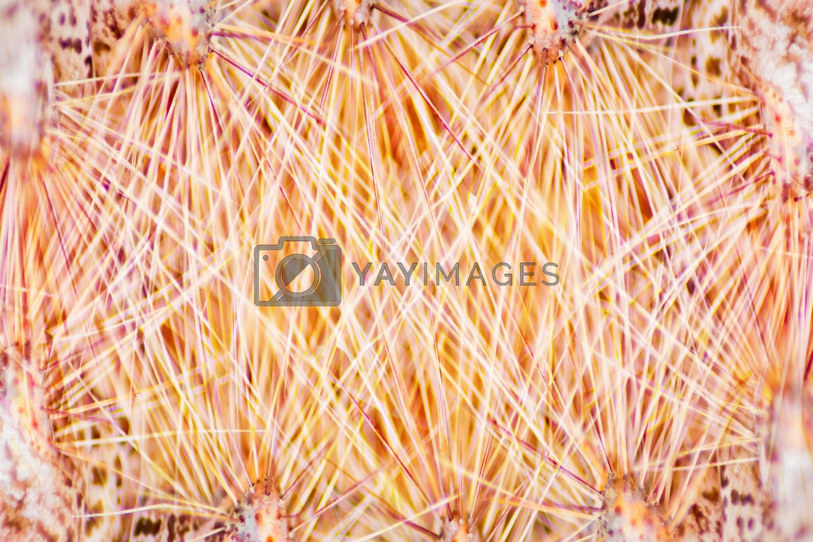 Macro of insect hair and thorns gold for the background is out of focus blur