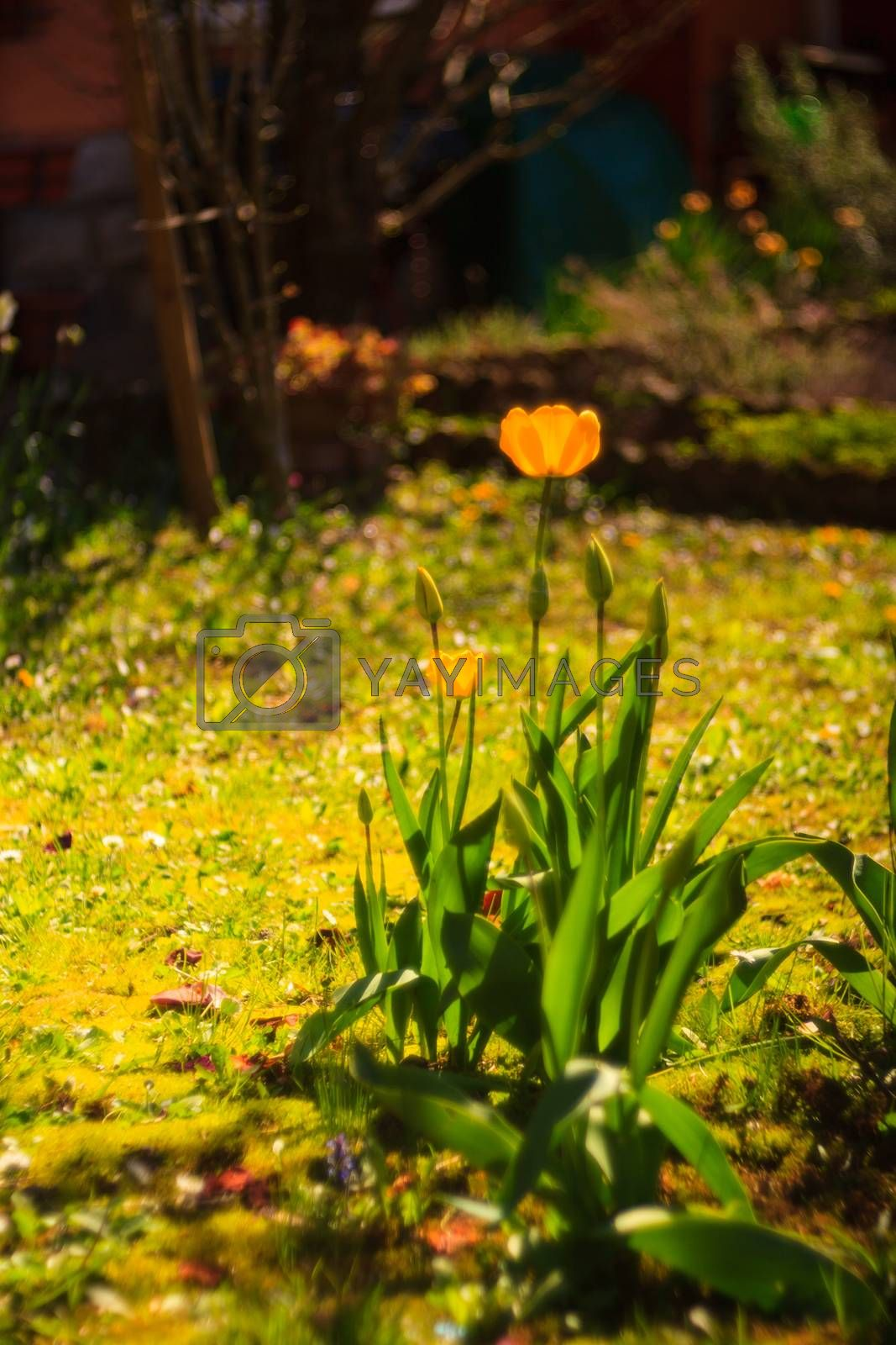 View of yellow tulip in the garden