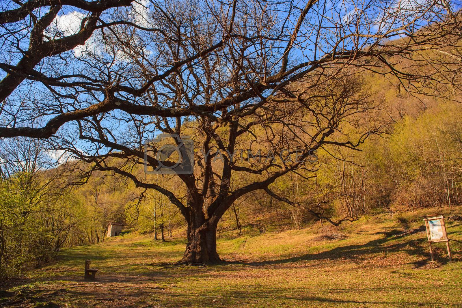 View of big oak in the field near Porlezza, Italy
