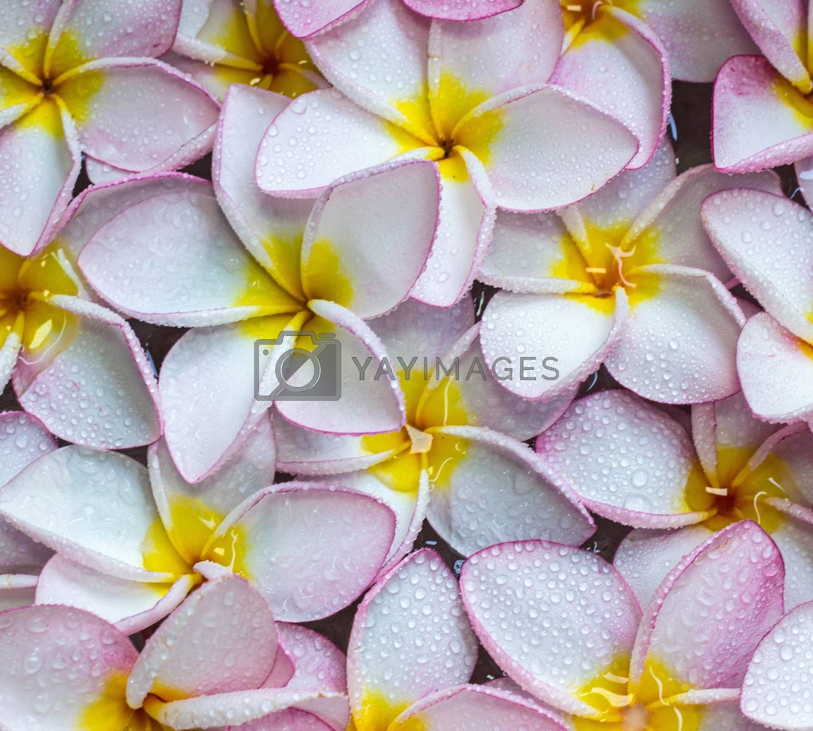Pink frangipani flowers with on the water