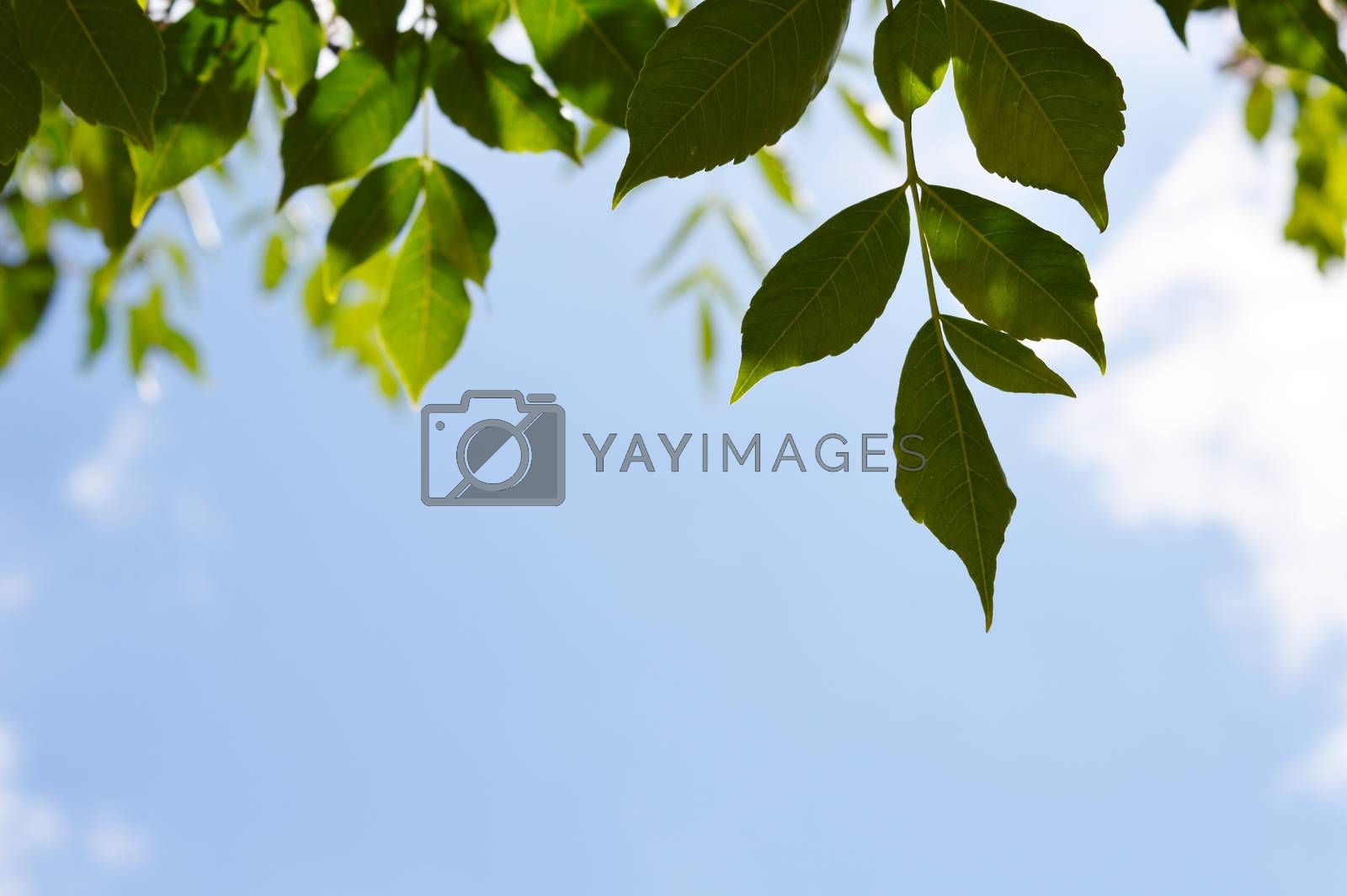 white clouds and   green leaves and sunny sky