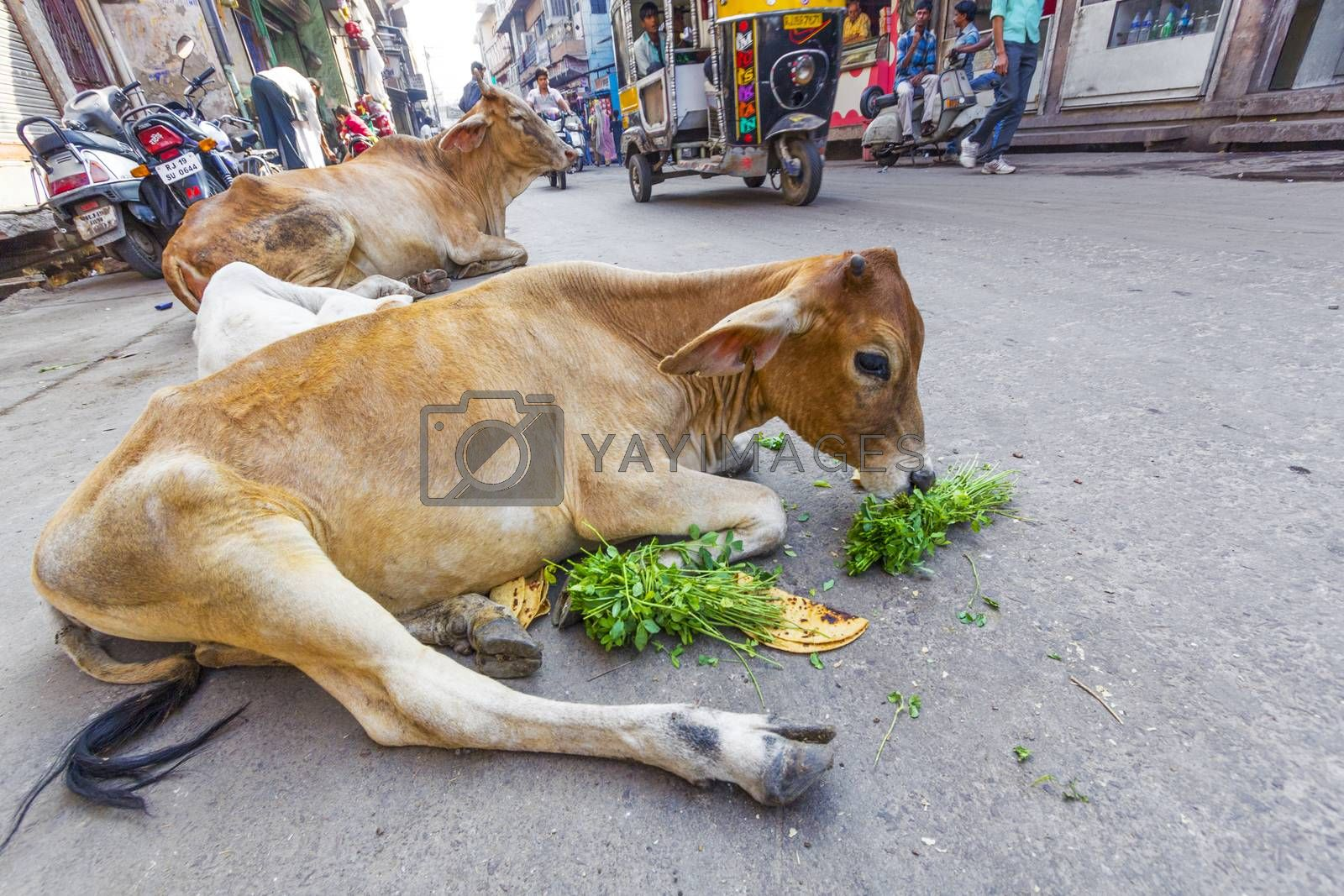 indian cow eating vegetables and bread in the morning by meinzahn