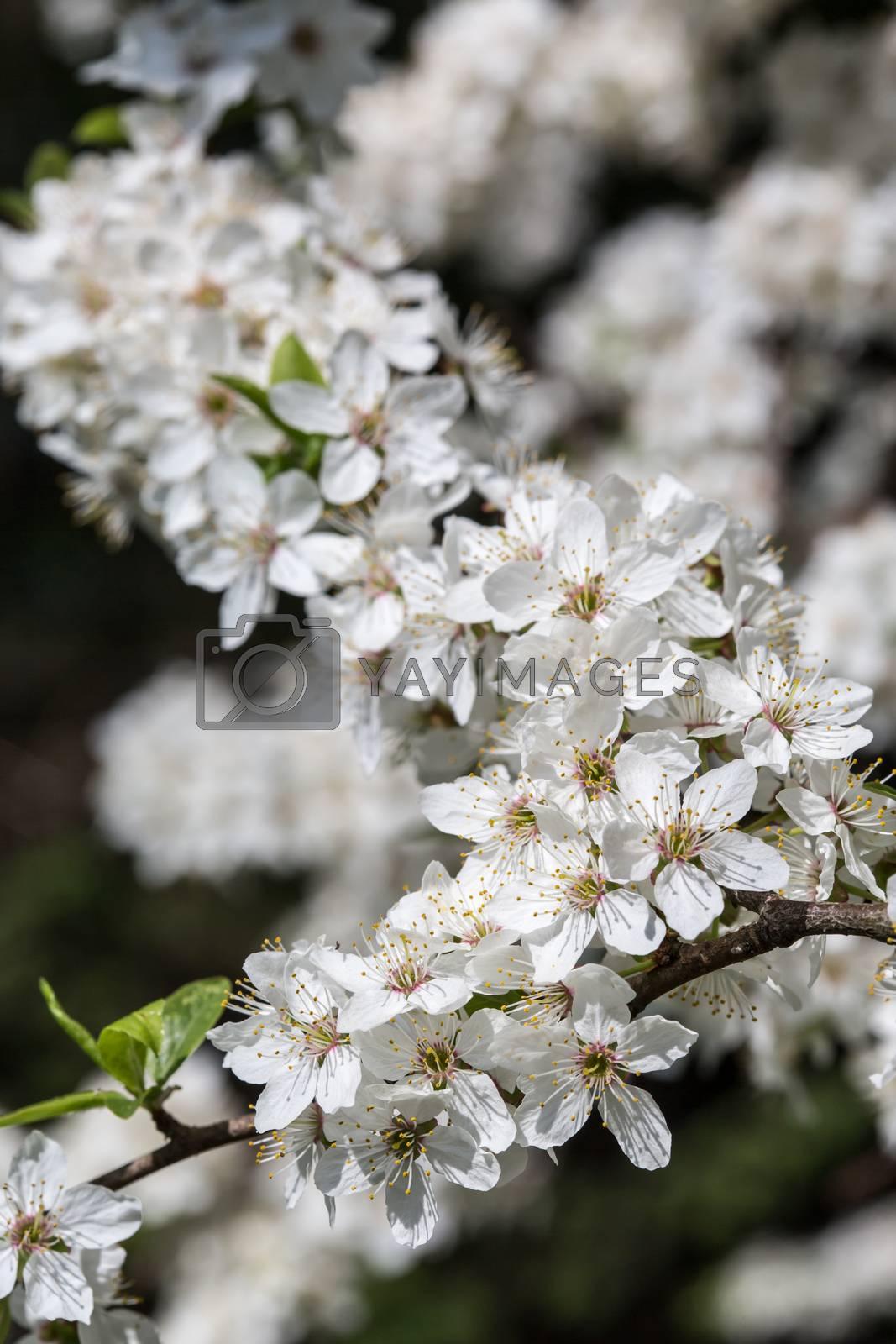 Spring season apple tree are blooming