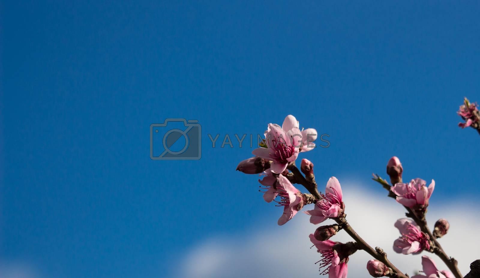 peach flowers on a blue sky