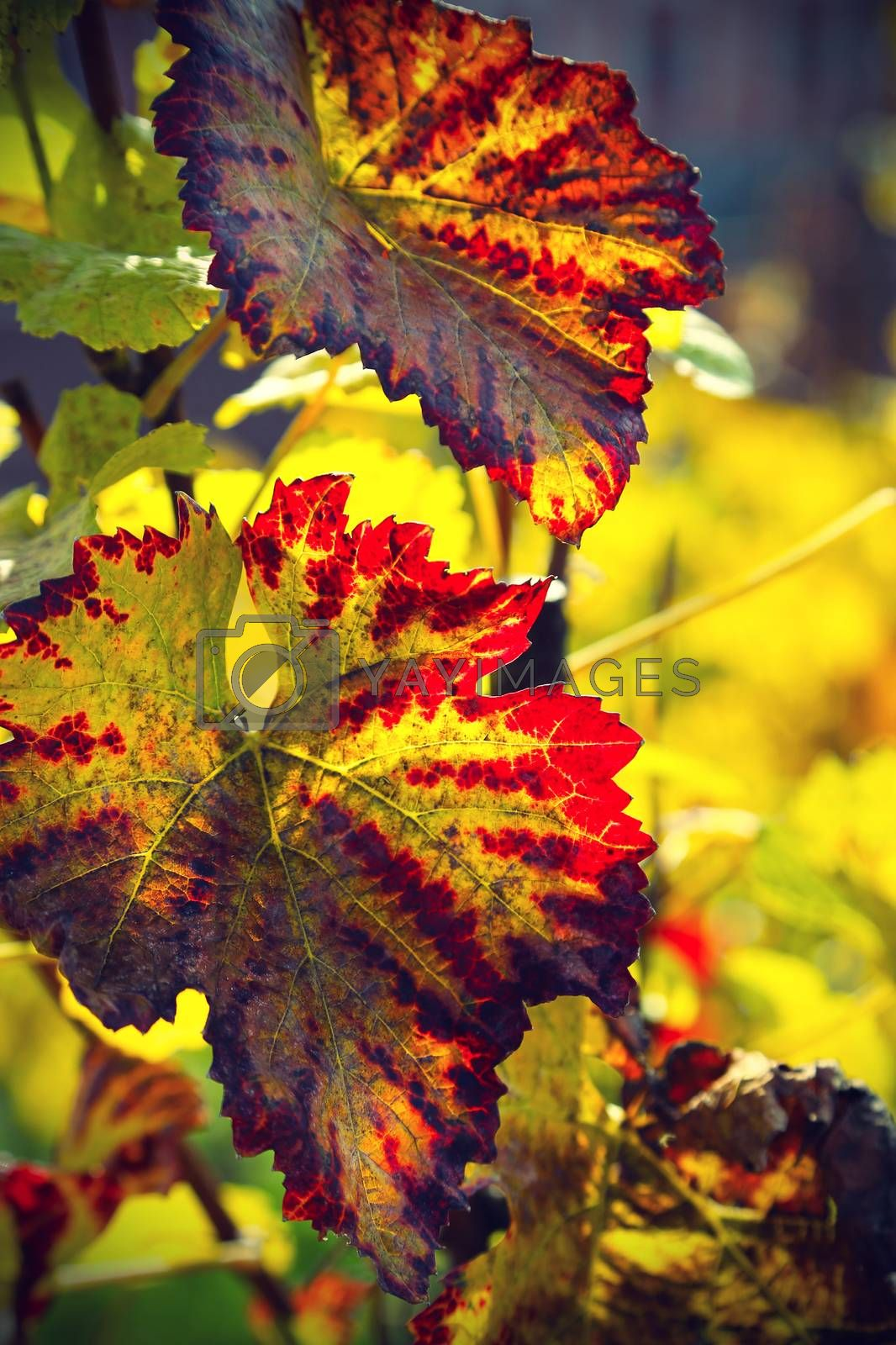 Autumn branch of grape with bright foliage glowing in sunlight