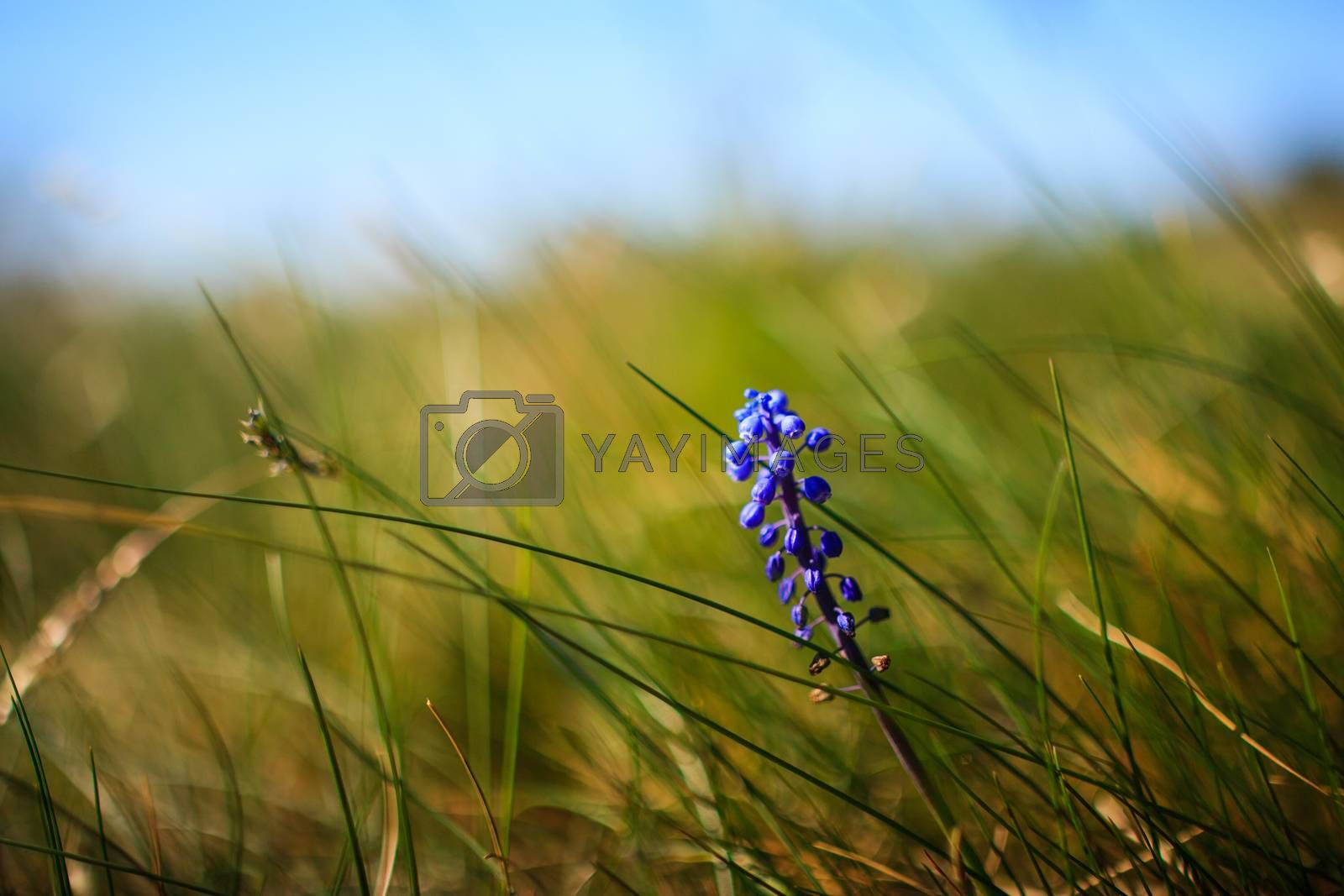 Flower Muscari neglectum, perennial bulbous plant, one of a number of species and genera known as Grape Hyacinth and in particular Common Grape Hyacinth
