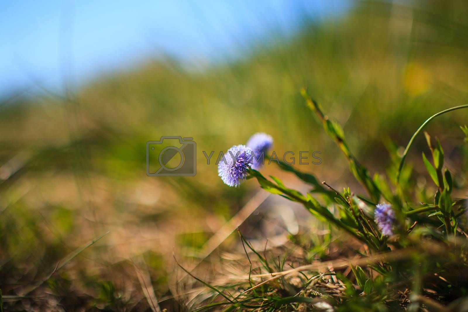 Globularia Cordifolia L. flowers in the countryside