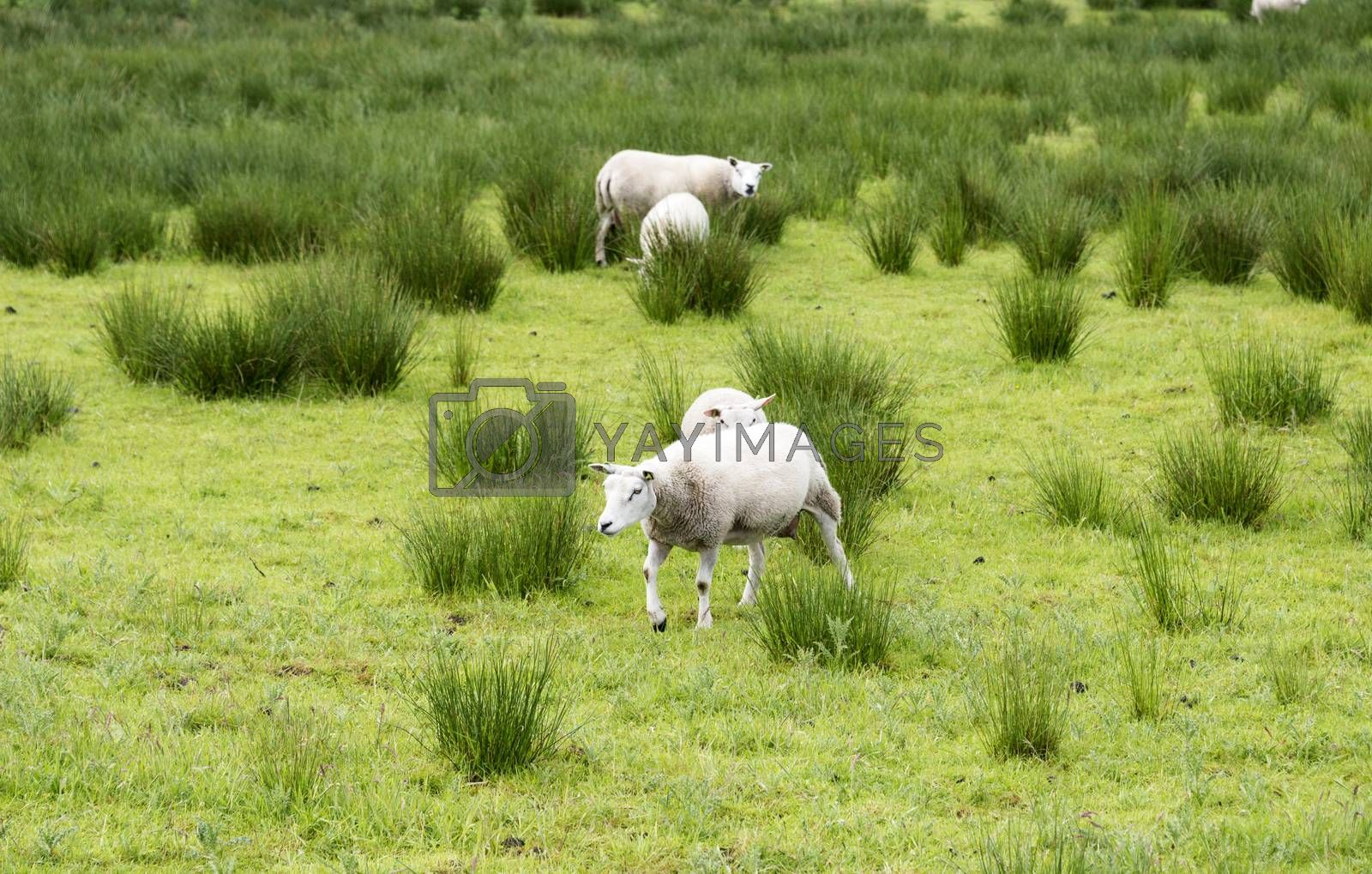 sheep grazing on field with green grass