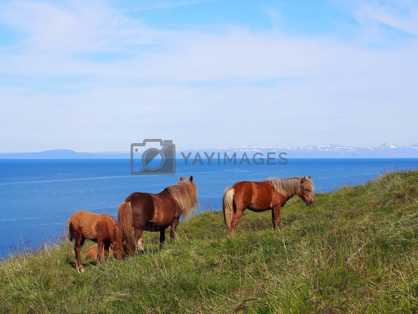 Icelandic horses, Hvammstangi, Iceland