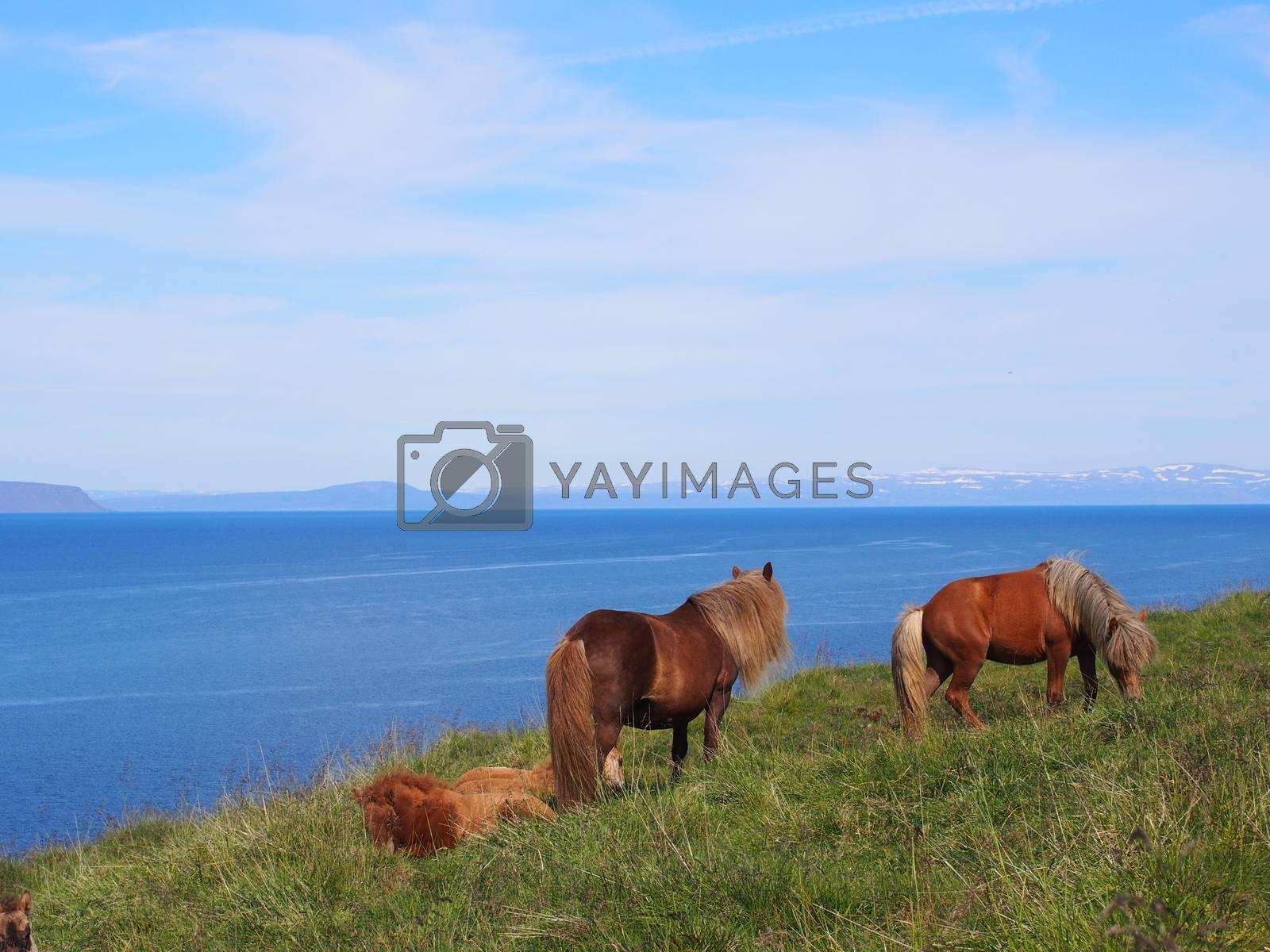 Icelandic horses, Hvammstangi, Iceland        Icelandic horses, Iceland
