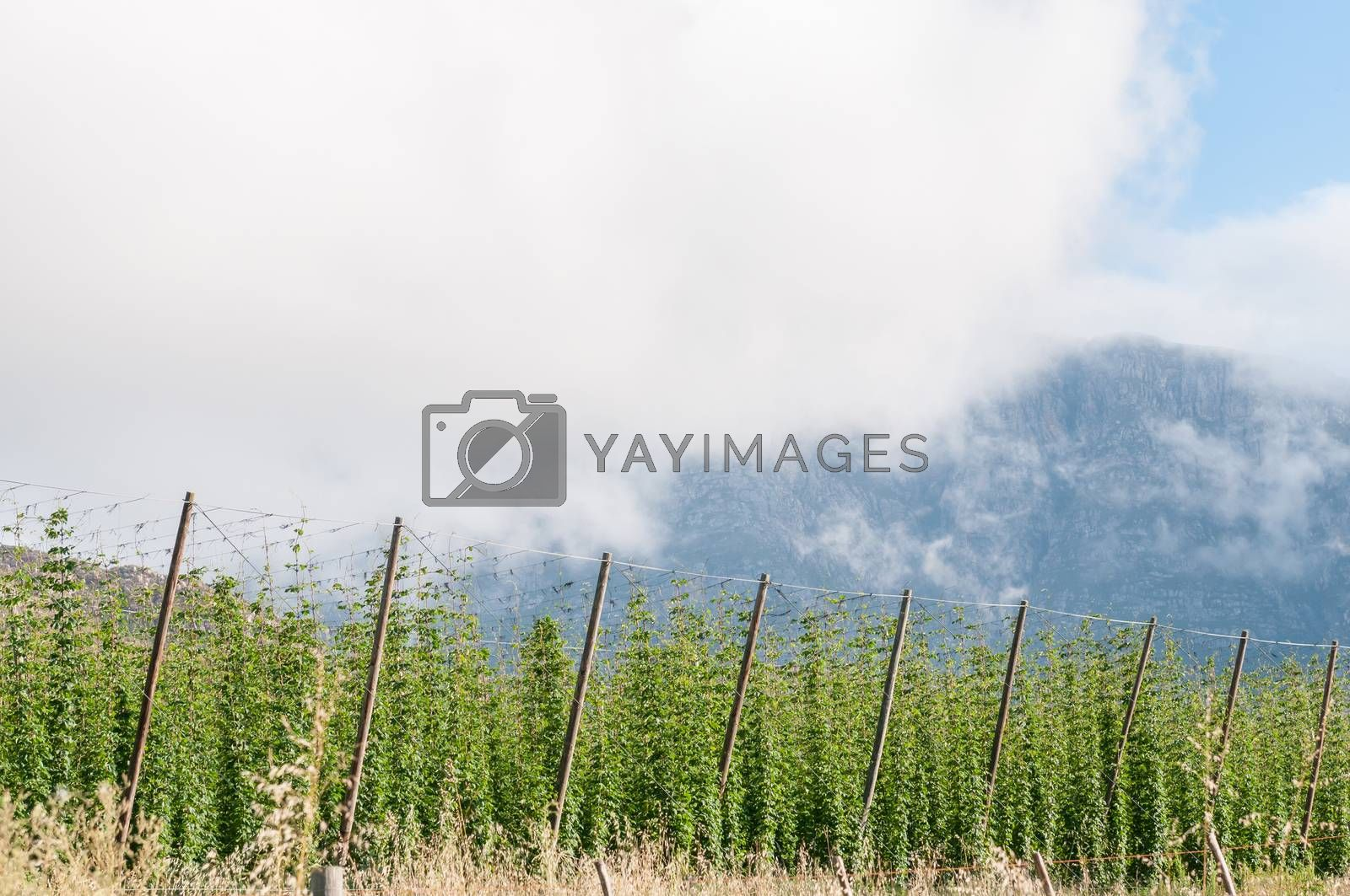 Royalty free image of Hops growing near Herold, a small village at the top of the Mont by dpreezg
