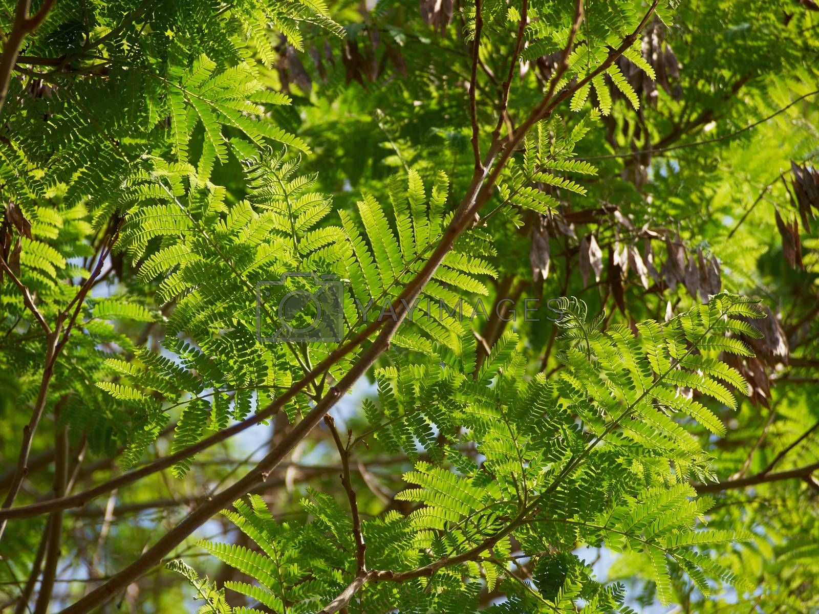 Royalty free image of Sunlight via green leaves of a tree by Ronyzmbow