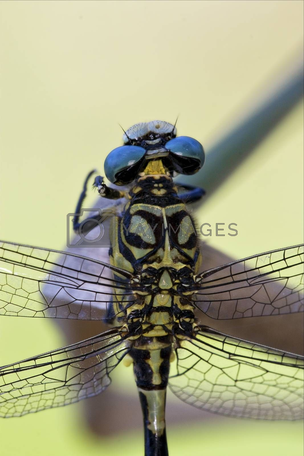 Royalty free image of back of wild black yellow dragonfly by lkpro