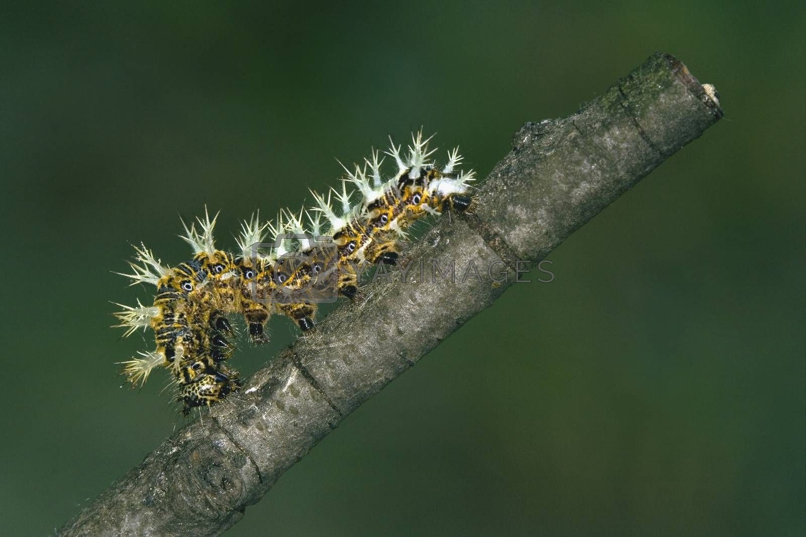Royalty free image of caterpillar of Papilionidae in the branch by lkpro