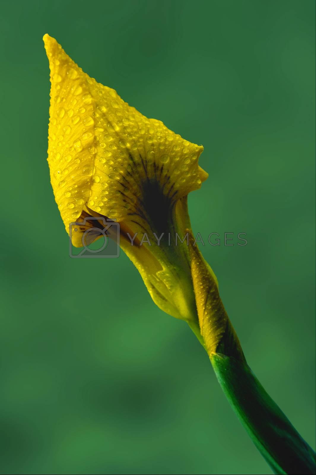 Royalty free image of close up of a  iridacee by lkpro