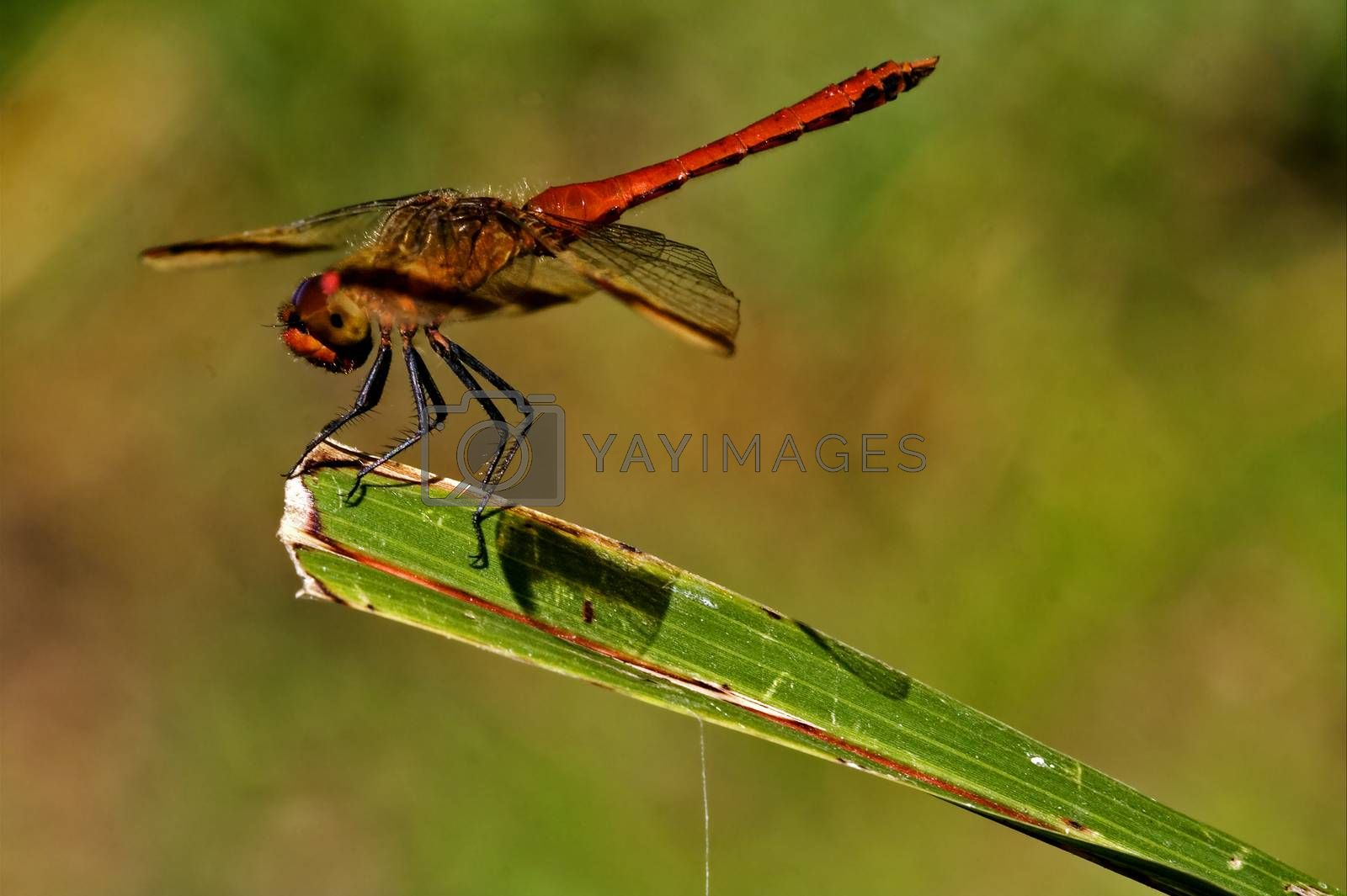 Royalty free image of red dragonfly on a piece of leaf   by lkpro