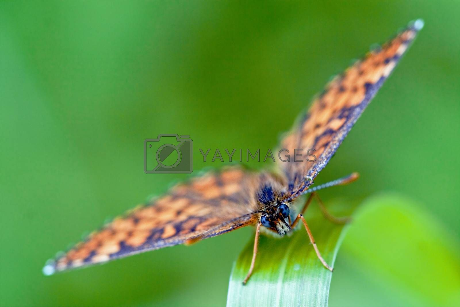 Royalty free image of front of wild brown orange butterfly   by lkpro