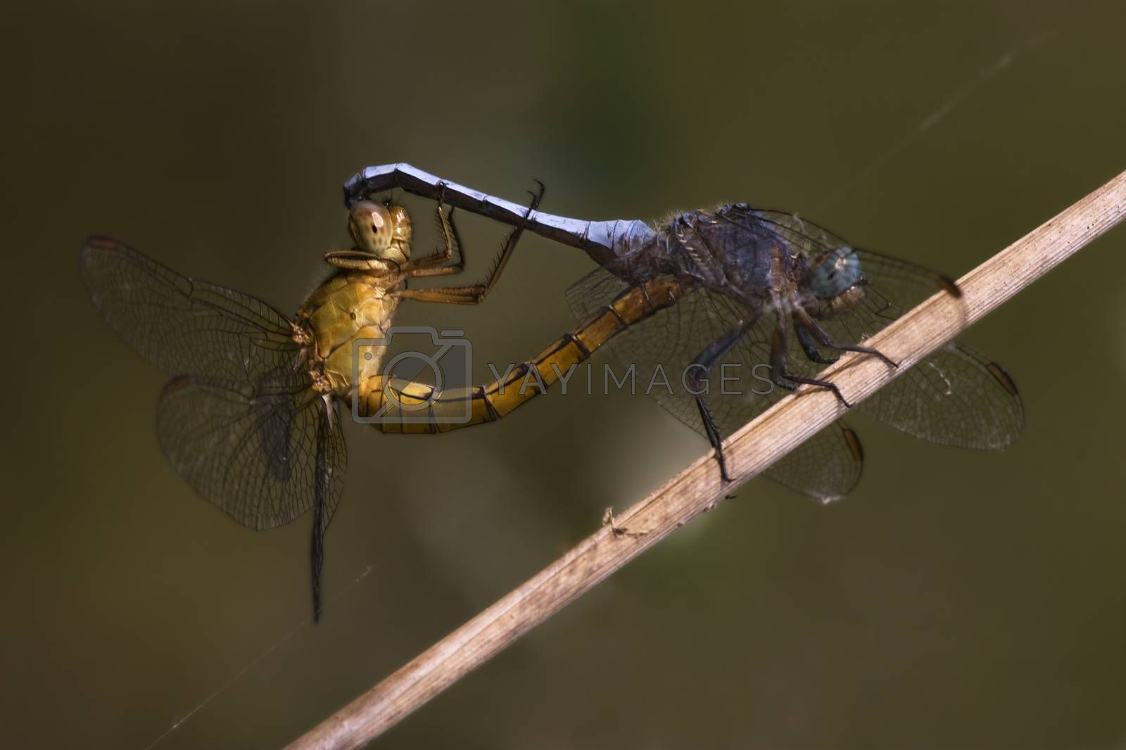 Royalty free image of reproduction of two wild yellow  blue  dragonfly by lkpro