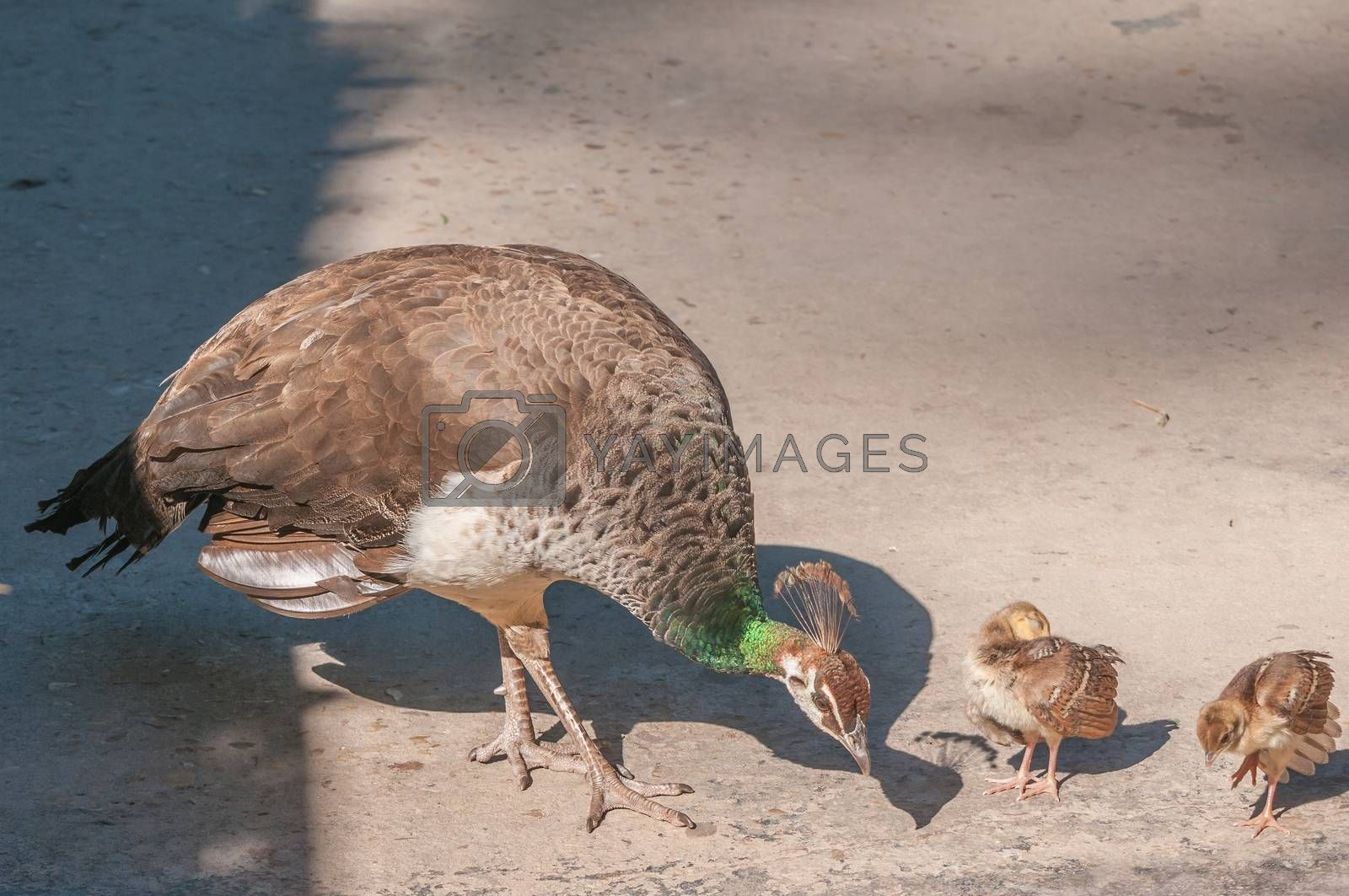 Royalty free image of Two Peachicks and Peahen by dpreezg