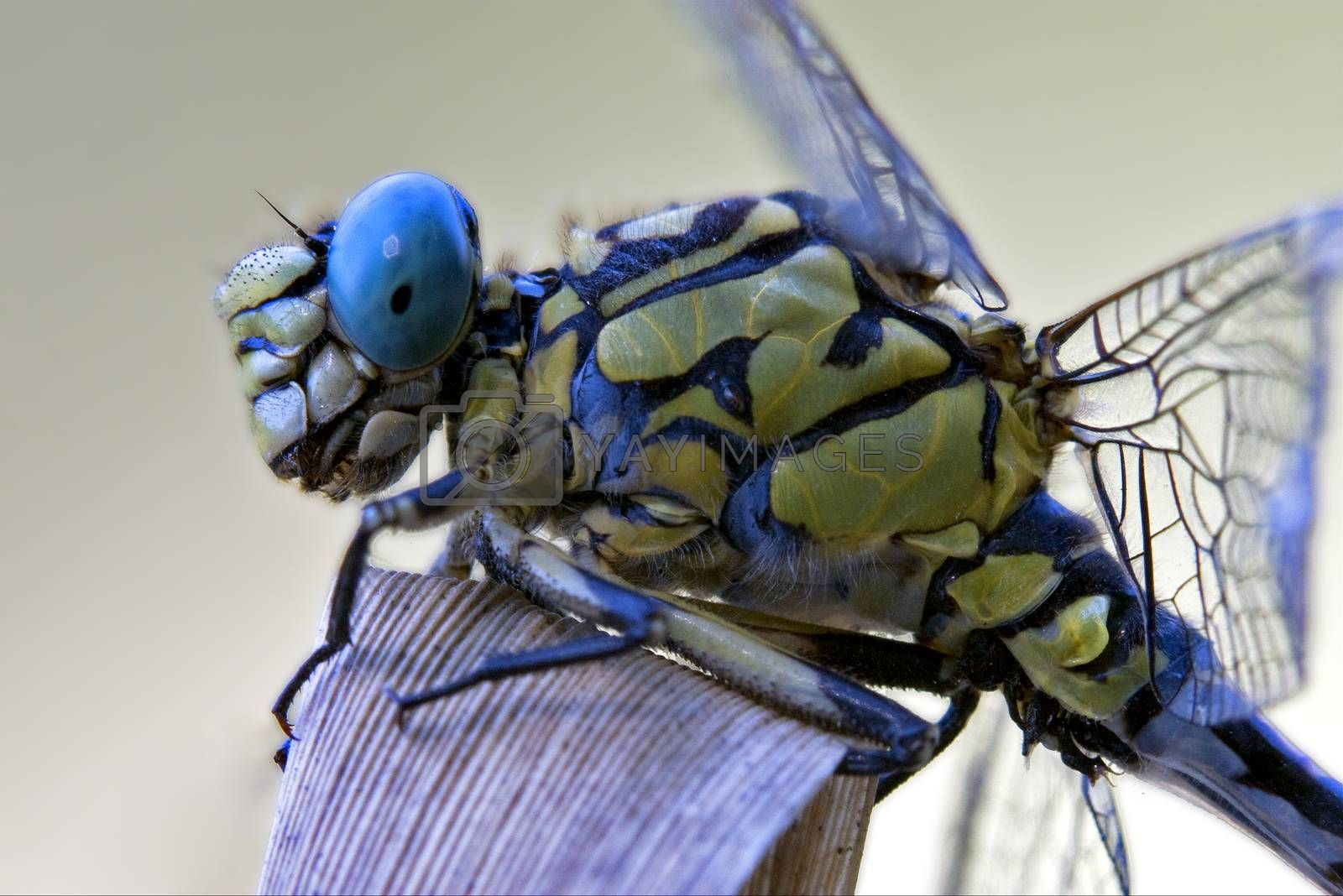 Royalty free image of black yellow dragonfly anax imperator  by lkpro
