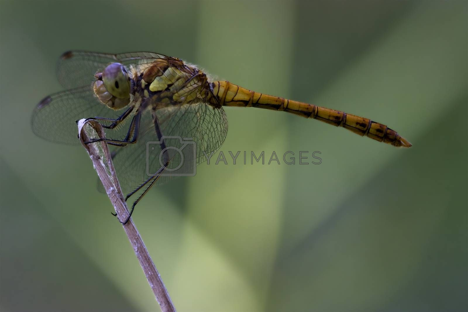 Royalty free image of  wild black yellow dragonfly  by lkpro