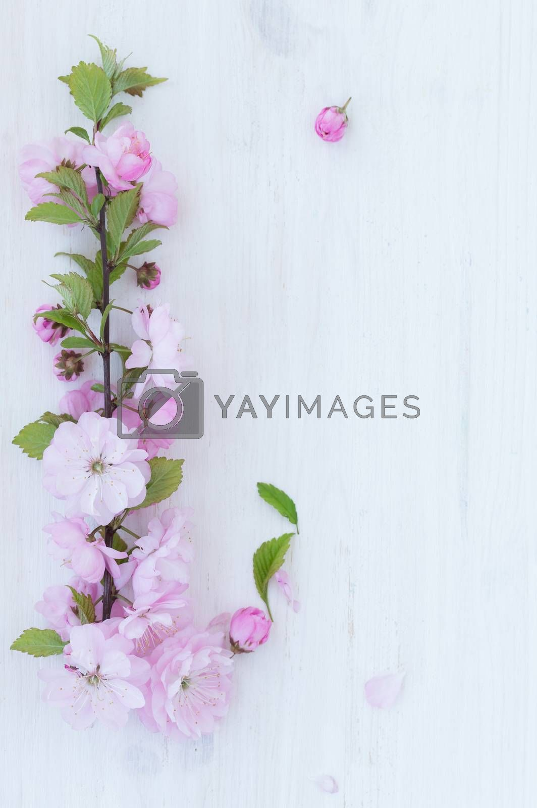 Royalty free image of Pink flowers close-up on wooden background by vlad_star