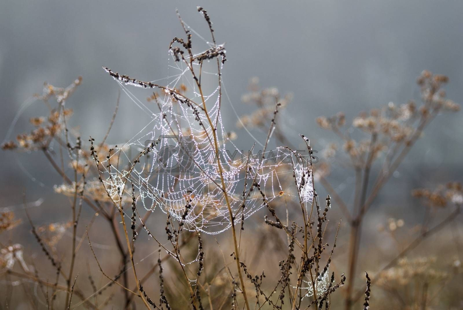 Royalty free image of Net spider with dew by Morfey713