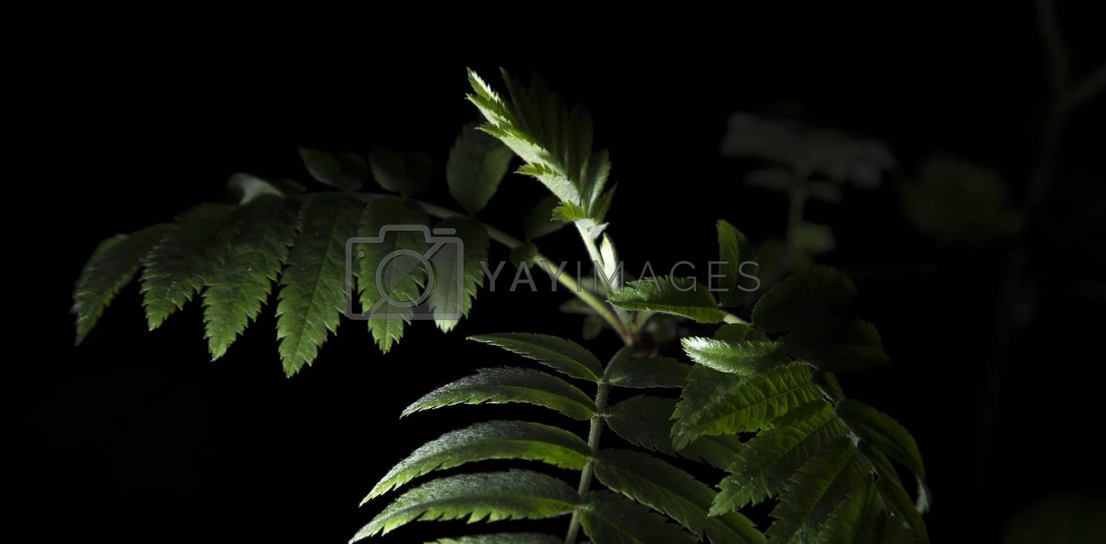 Royalty free image of Rowan Leaves Close Up by Emmoth