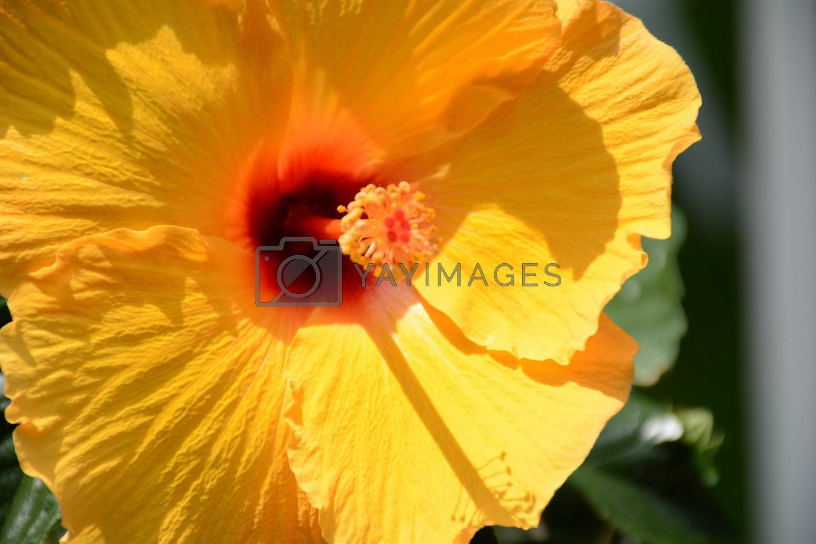 Royalty free image of Hibiscus-3 by mark_miller