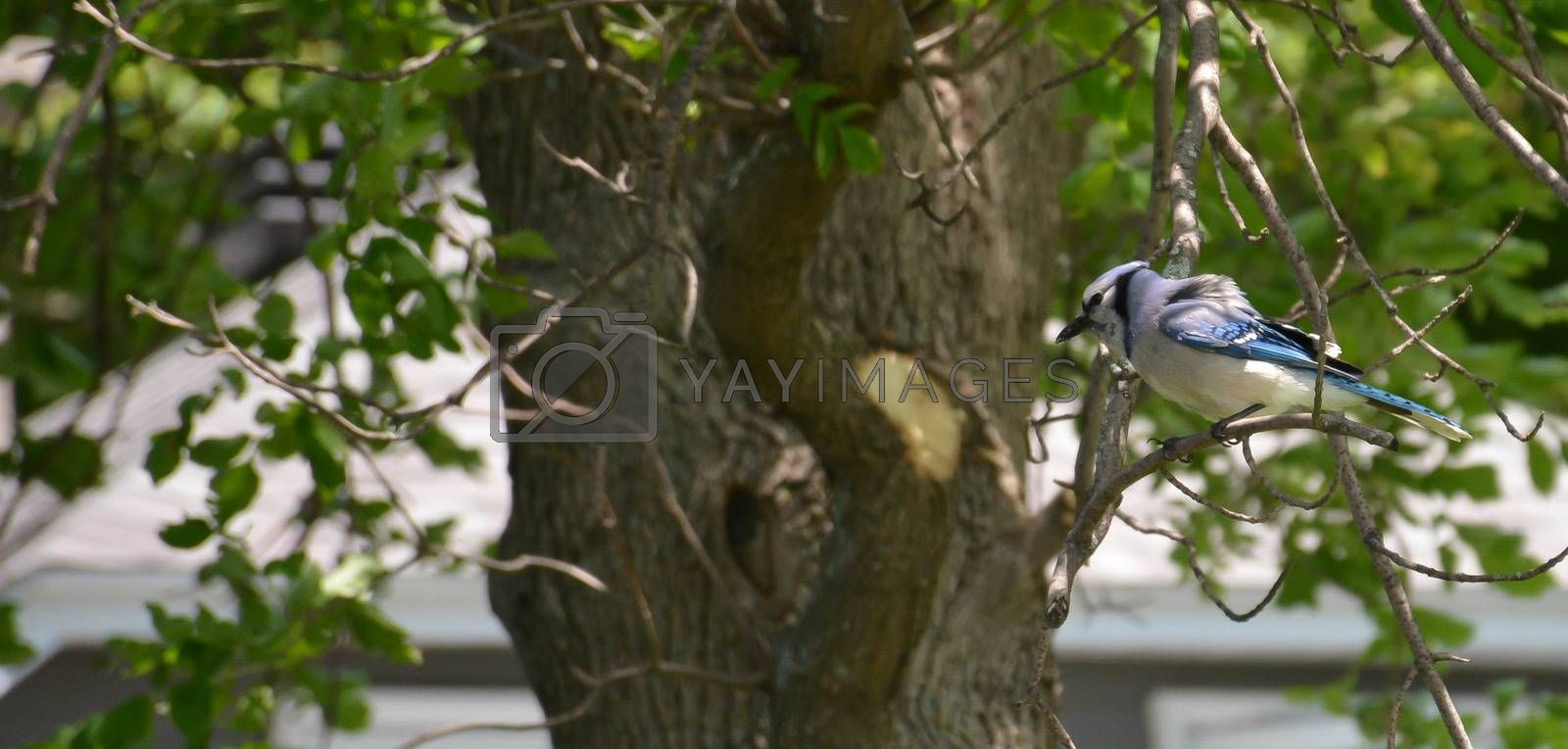 Blue Jay On Branch by mark_miller