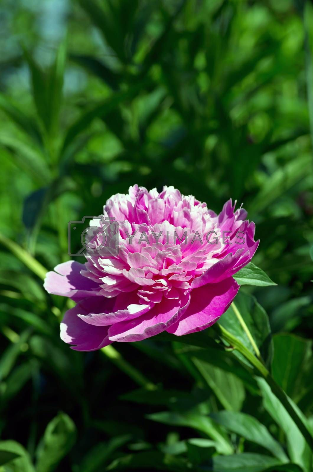Royalty free image of Closeup Pink Peonies Flowers. by dolnikow