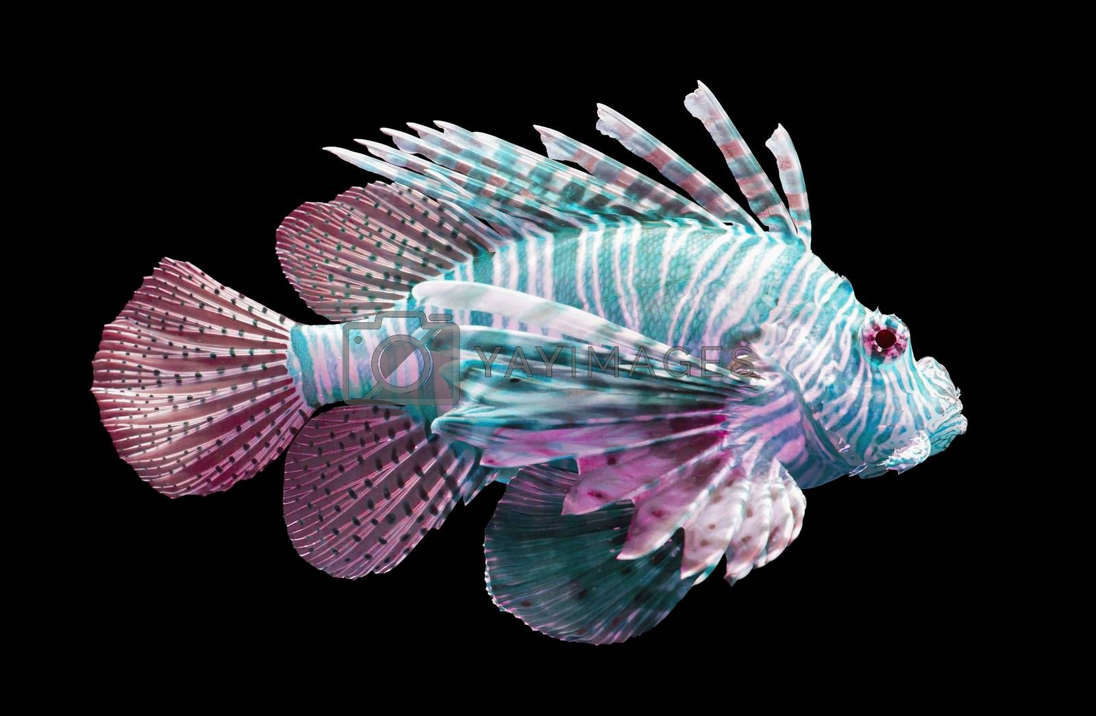 Royalty free image of Pterois volitans, Lionfish - Isolated on black by michaklootwijk