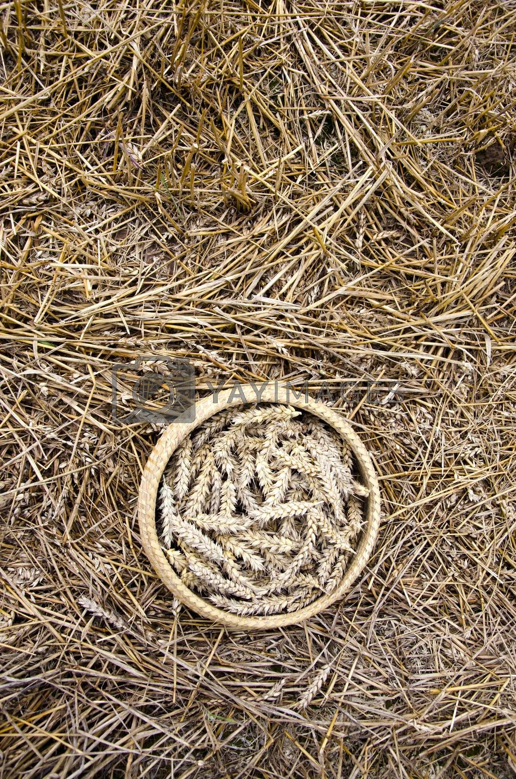 Royalty free image of ripe wheat ears after harvesting in basket on field with straw by alis_photo