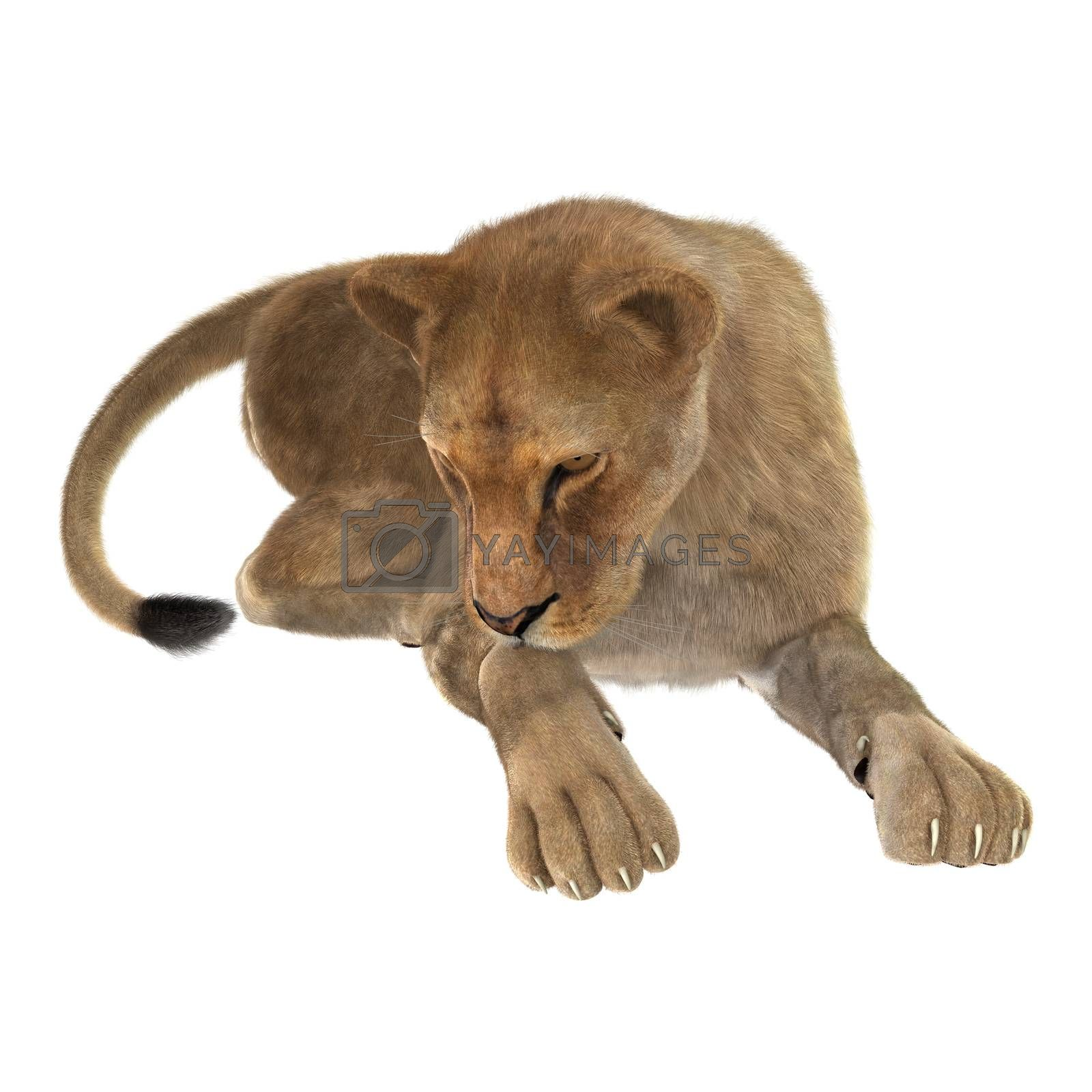 Royalty free image of Female Lion by Vac
