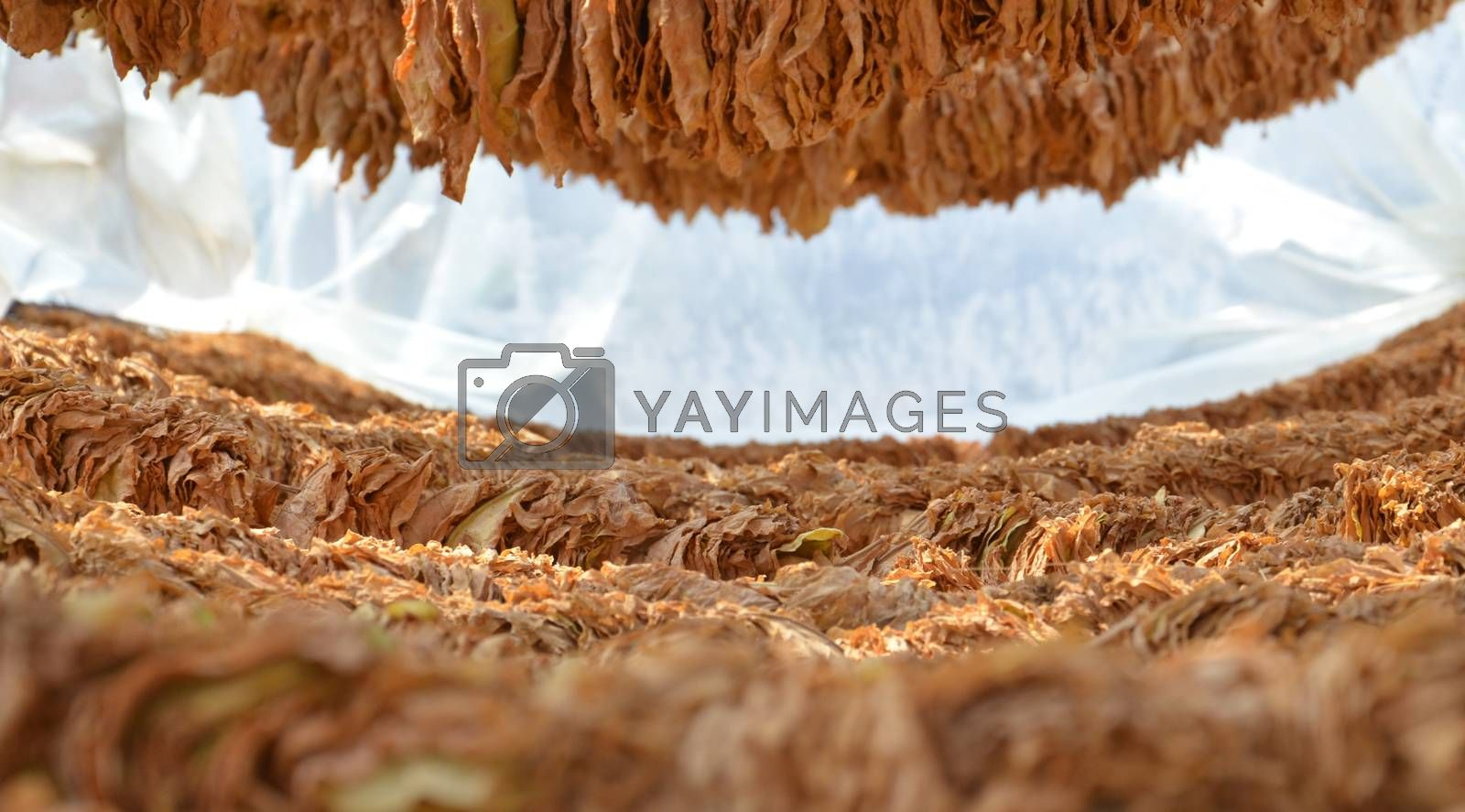 Royalty free image of Tobacco dry in the sun by nehru