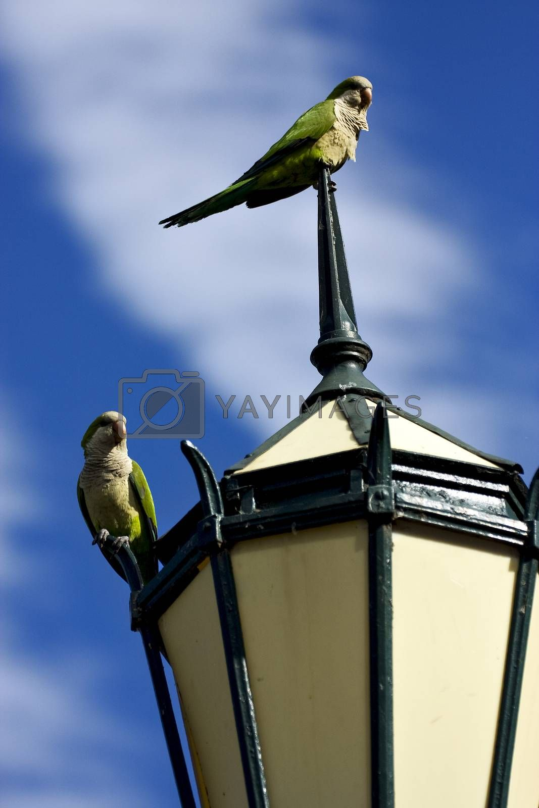 Royalty free image of  parrots  in  buenos aires  by lkpro