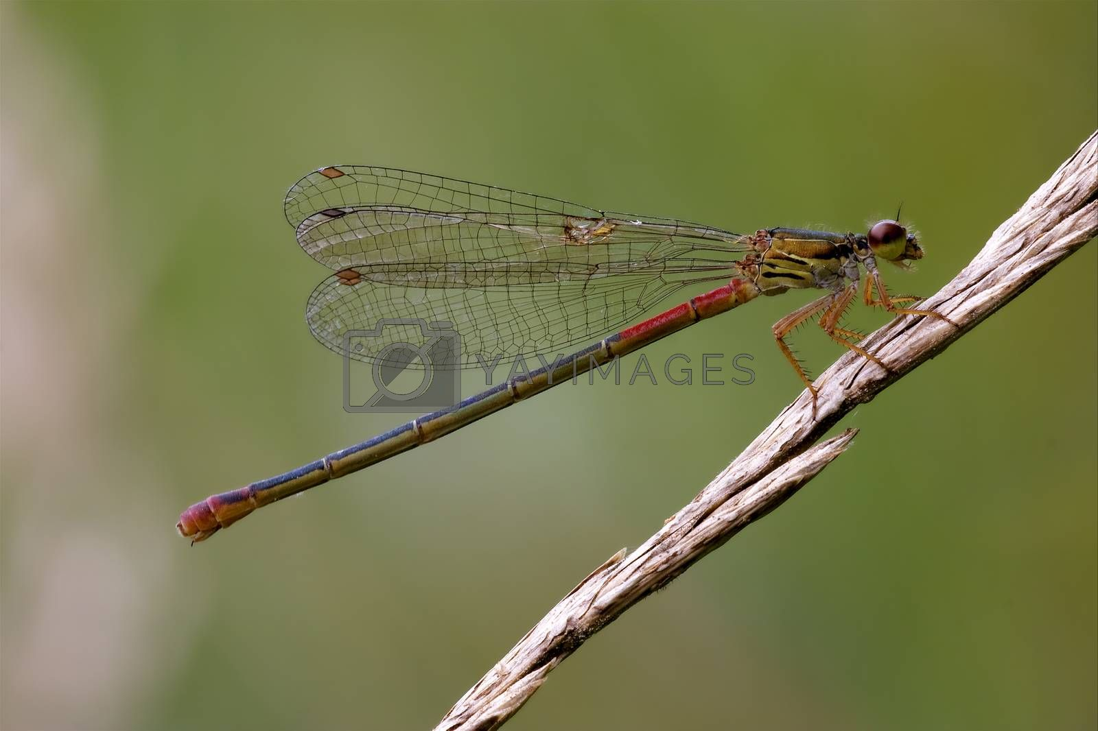 Royalty free image of  red black dragonfly coenagrion puella  by lkpro