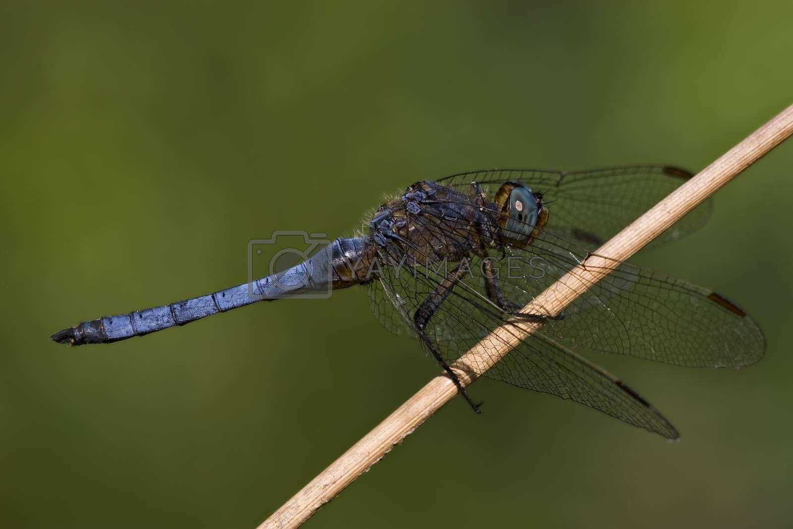 Royalty free image of side of wild  blue  black dragonfly by lkpro