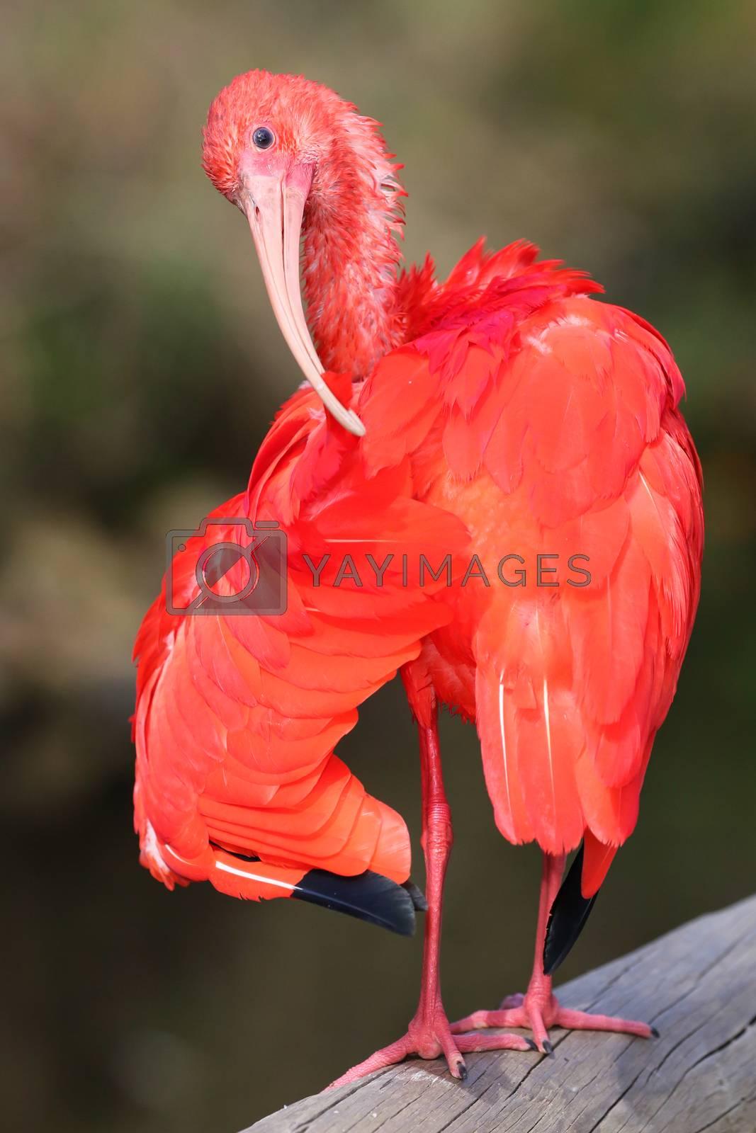 Royalty free image of Scarlet Ibis Bird by fouroaks